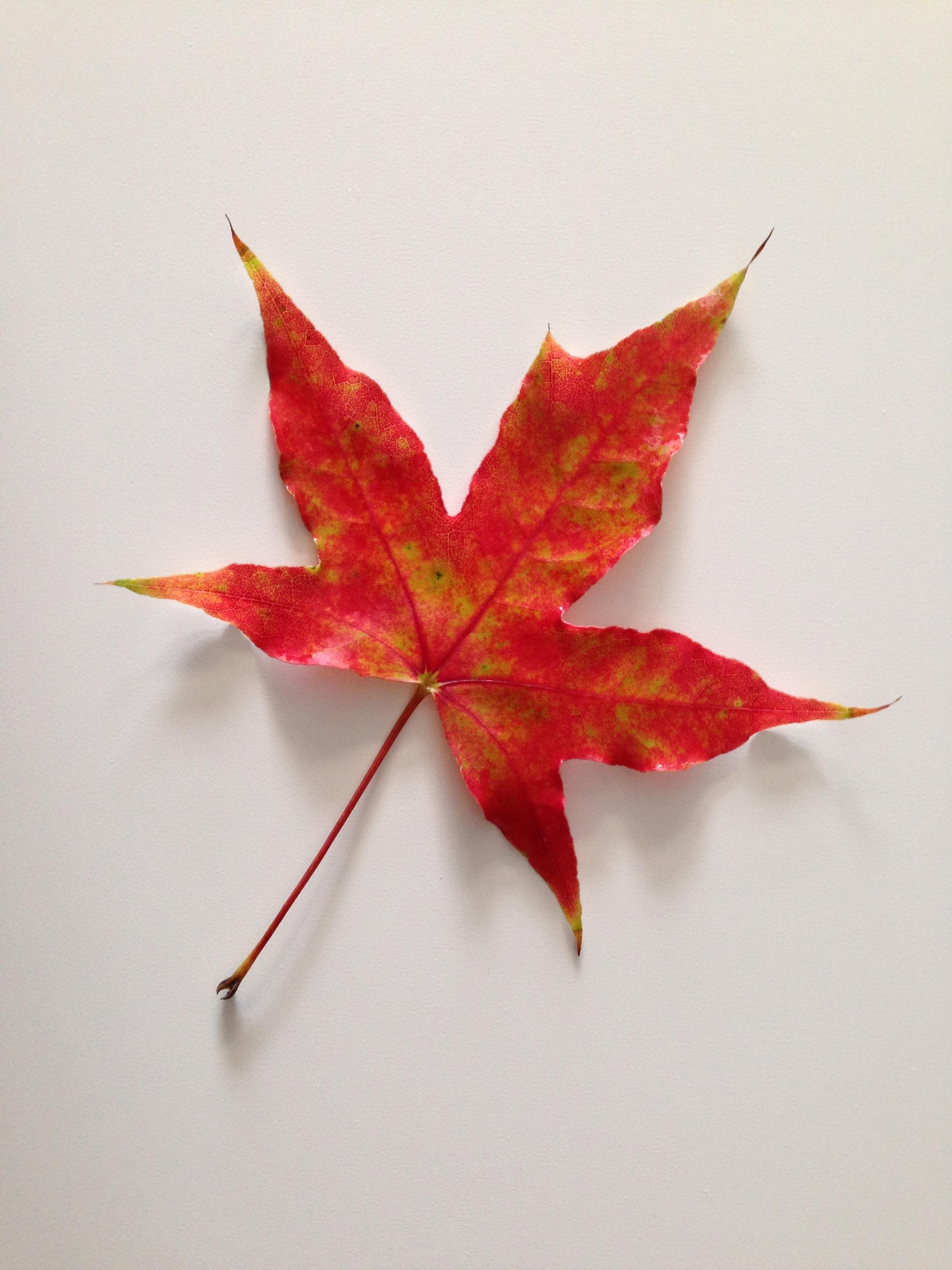 Flower Photography 무료 이미지 분기 꽃잎 빨간 생기게 하다 가을 시즌 단풍 나무 작은 가지 단풍잎