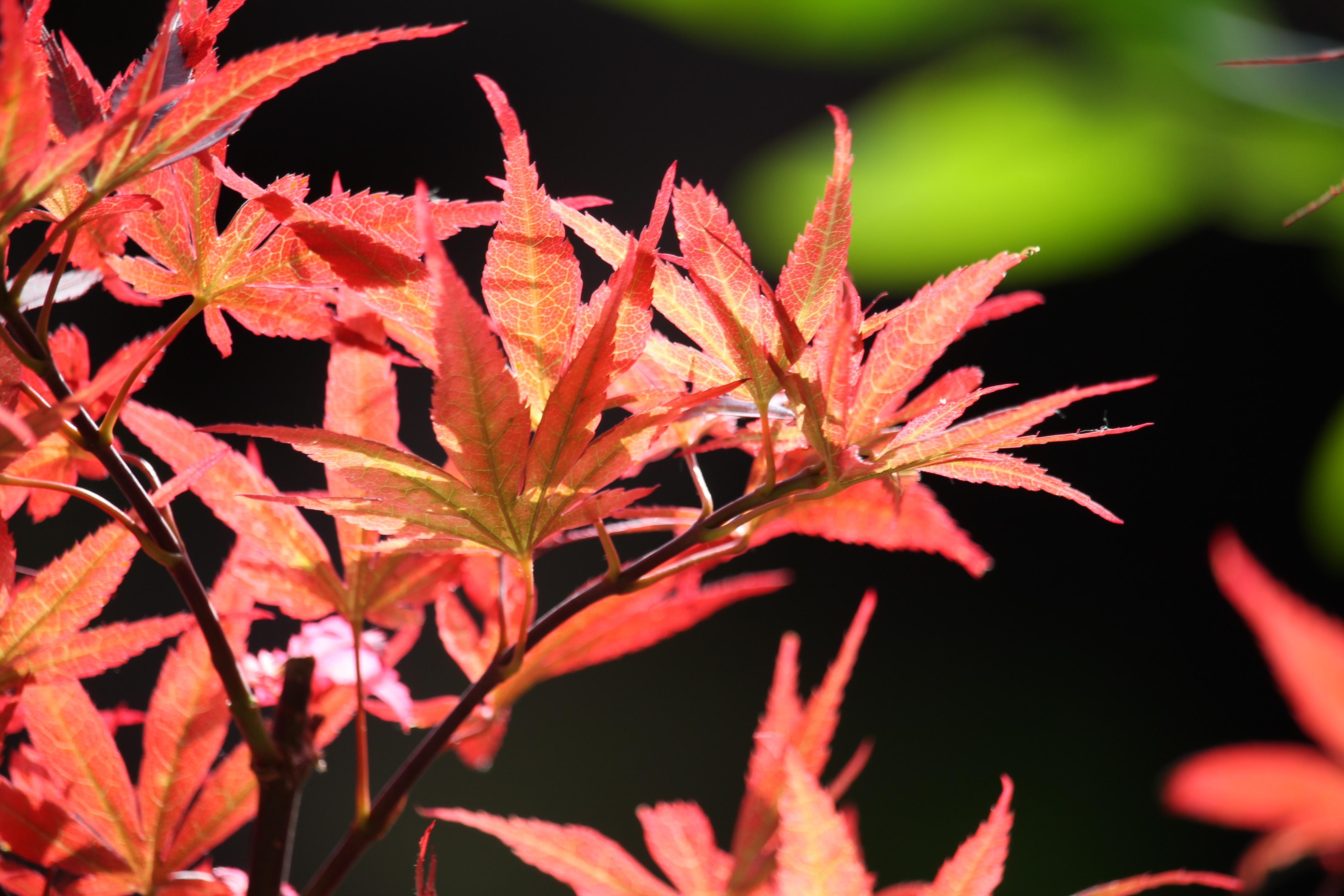 images gratuites : arbre, branche, fleur, été, rouge, l'automne