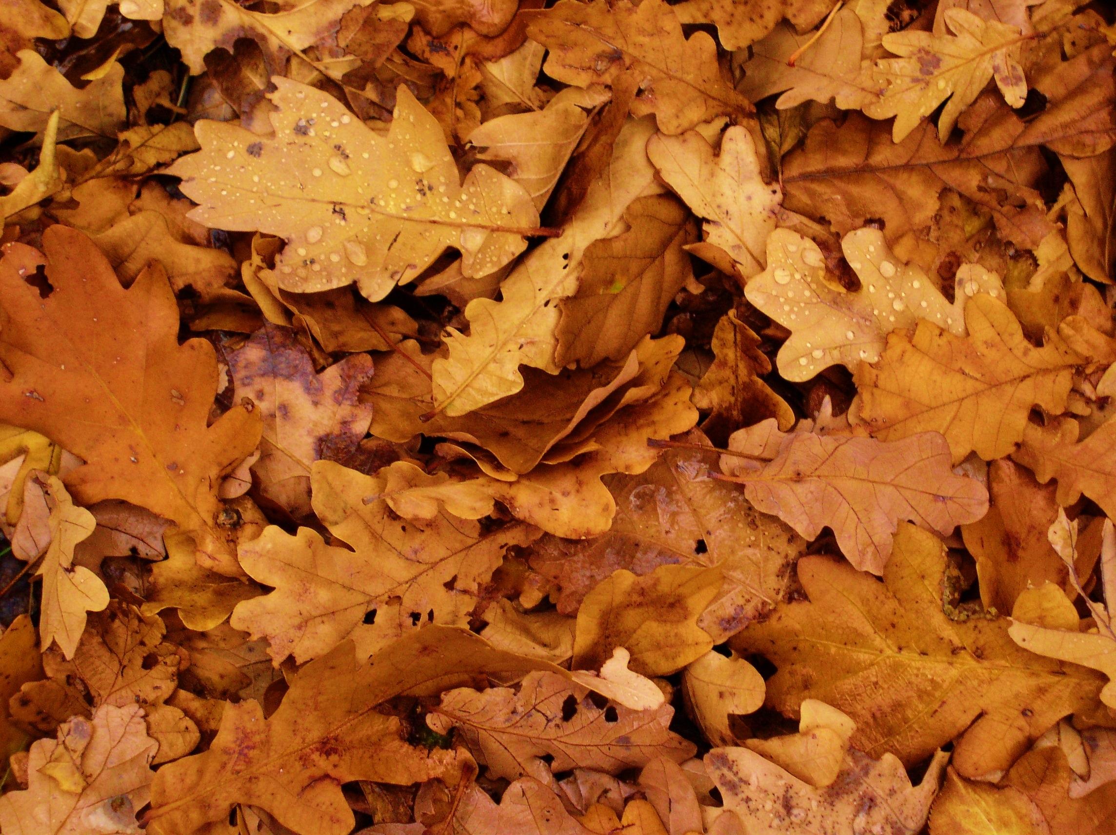 Осень картинки листья дуба