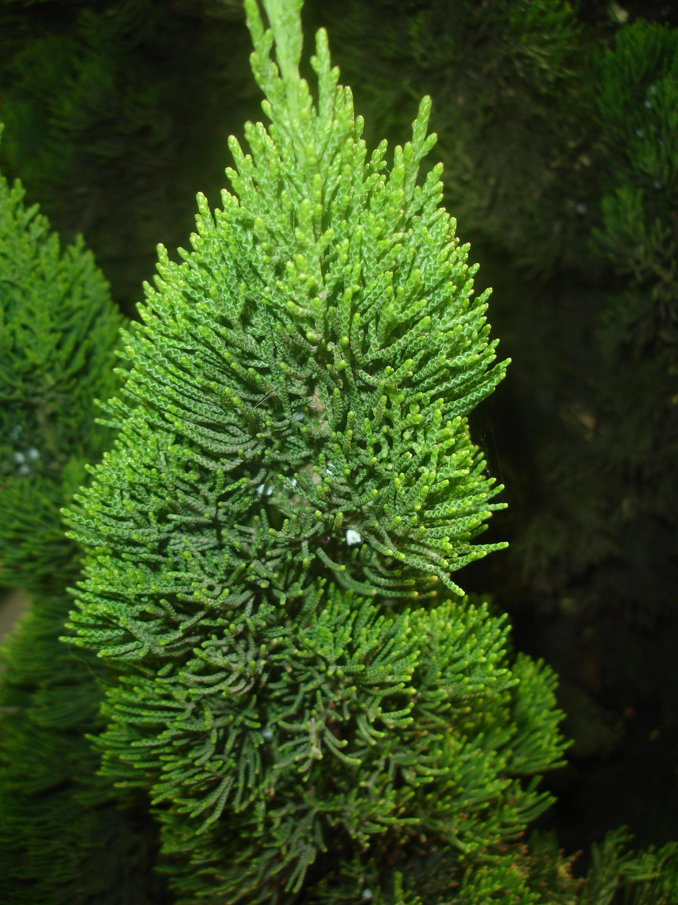 Kostenlose foto Baum Ast Blatt Moos immergrün Botanik