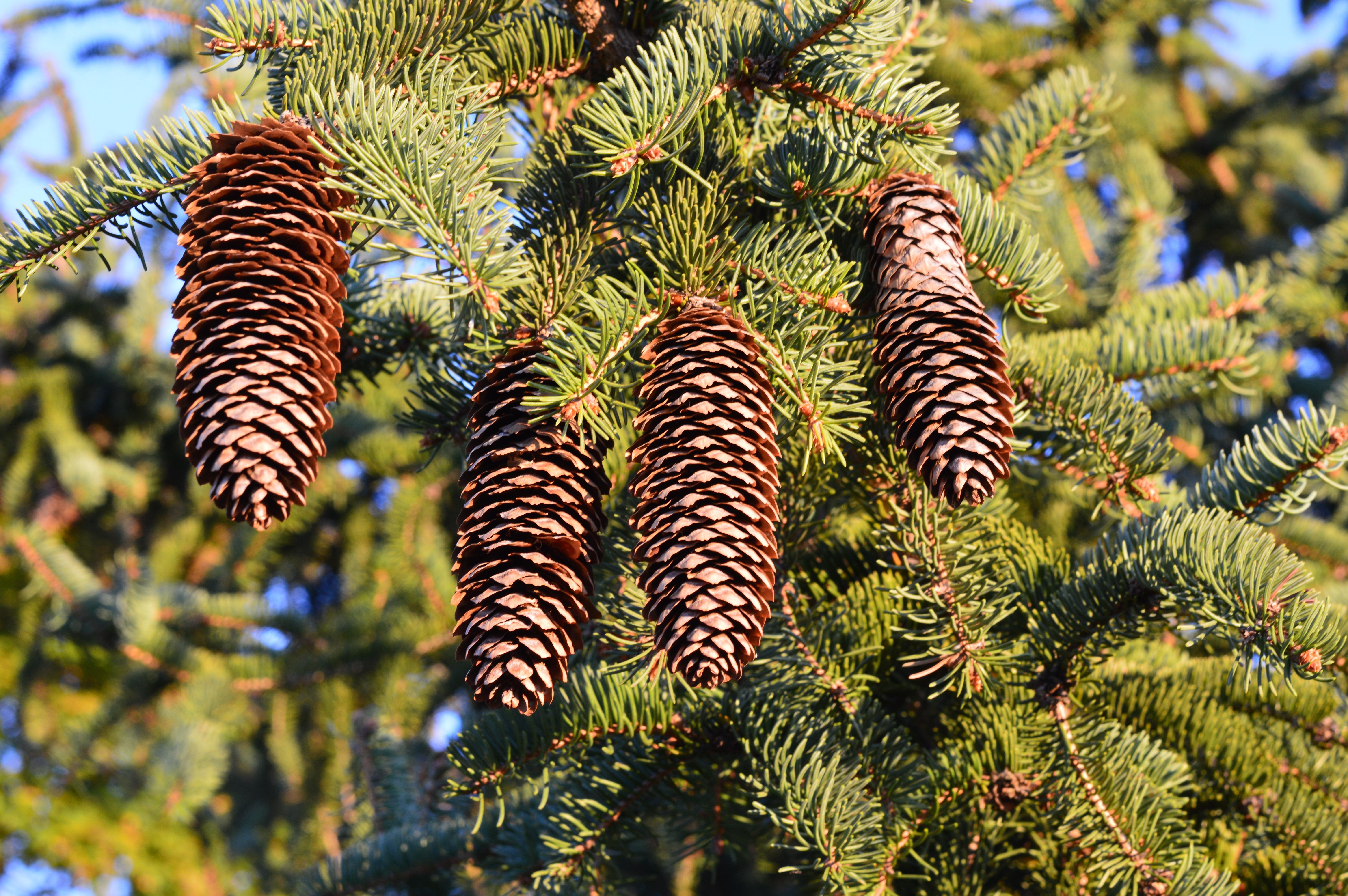 Fotos gratis rbol rama planta follaje verde hojas for Tipos de pinos para jardin fotos