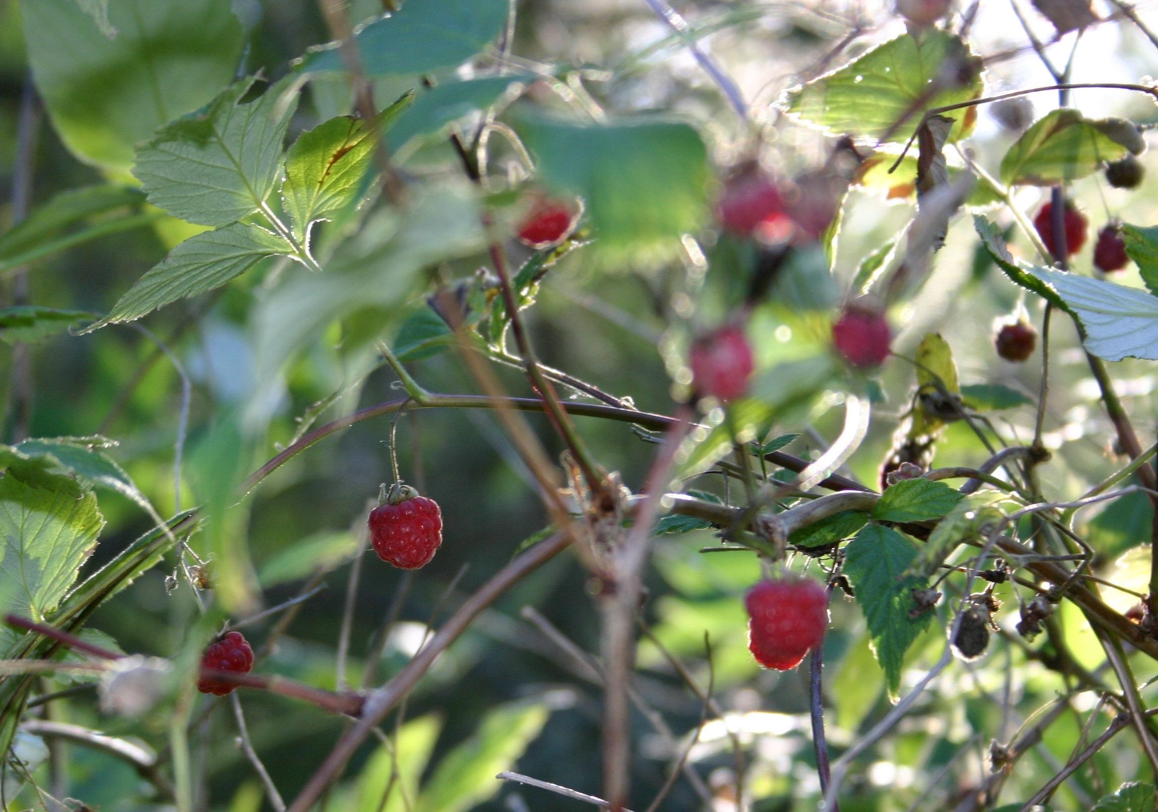 Fotos gratis rbol rama frambuesa fruta dulce flor for Arboles para plantar en verano