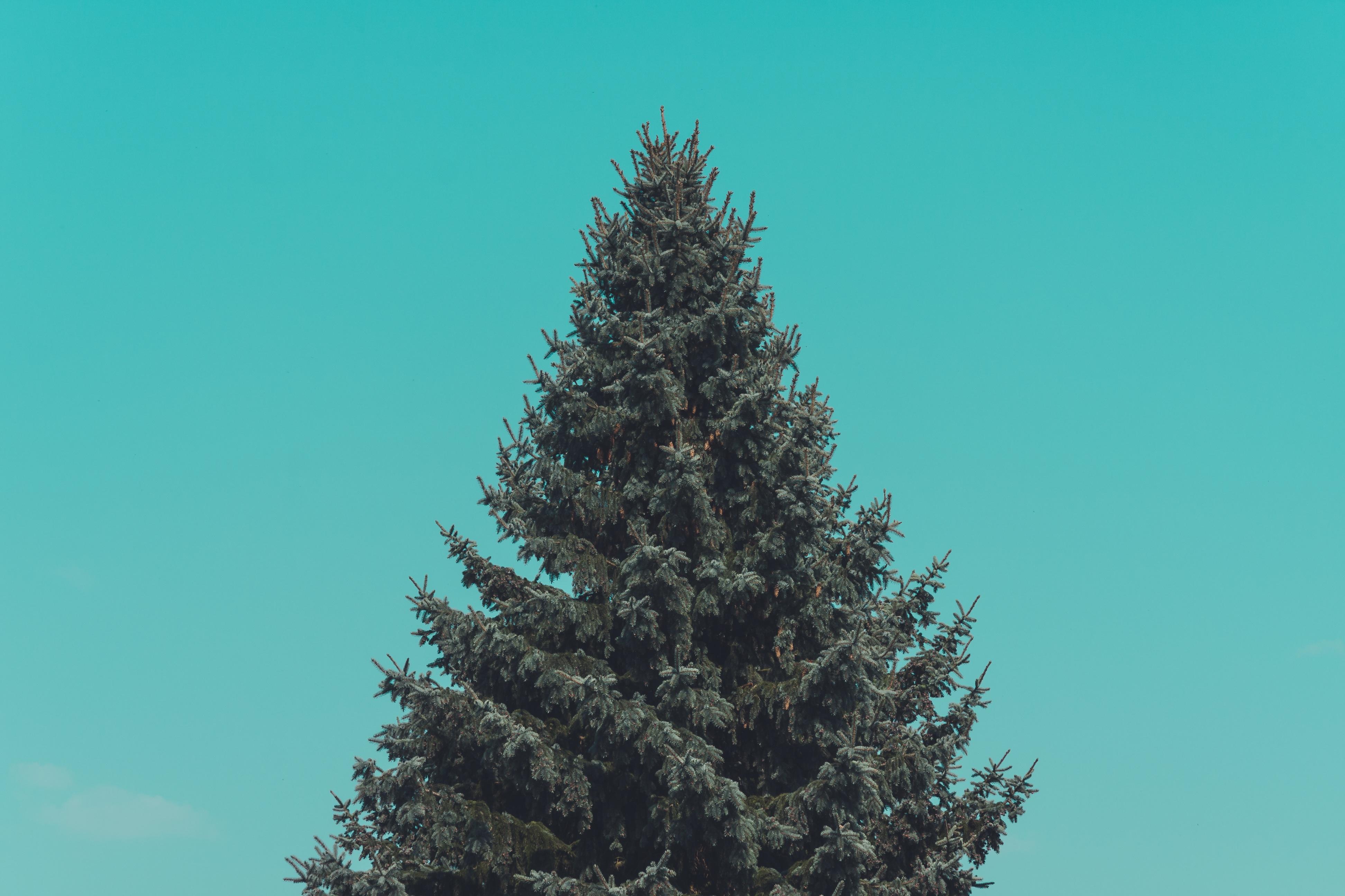 images gratuites branche plante ciel sapin arbre de. Black Bedroom Furniture Sets. Home Design Ideas