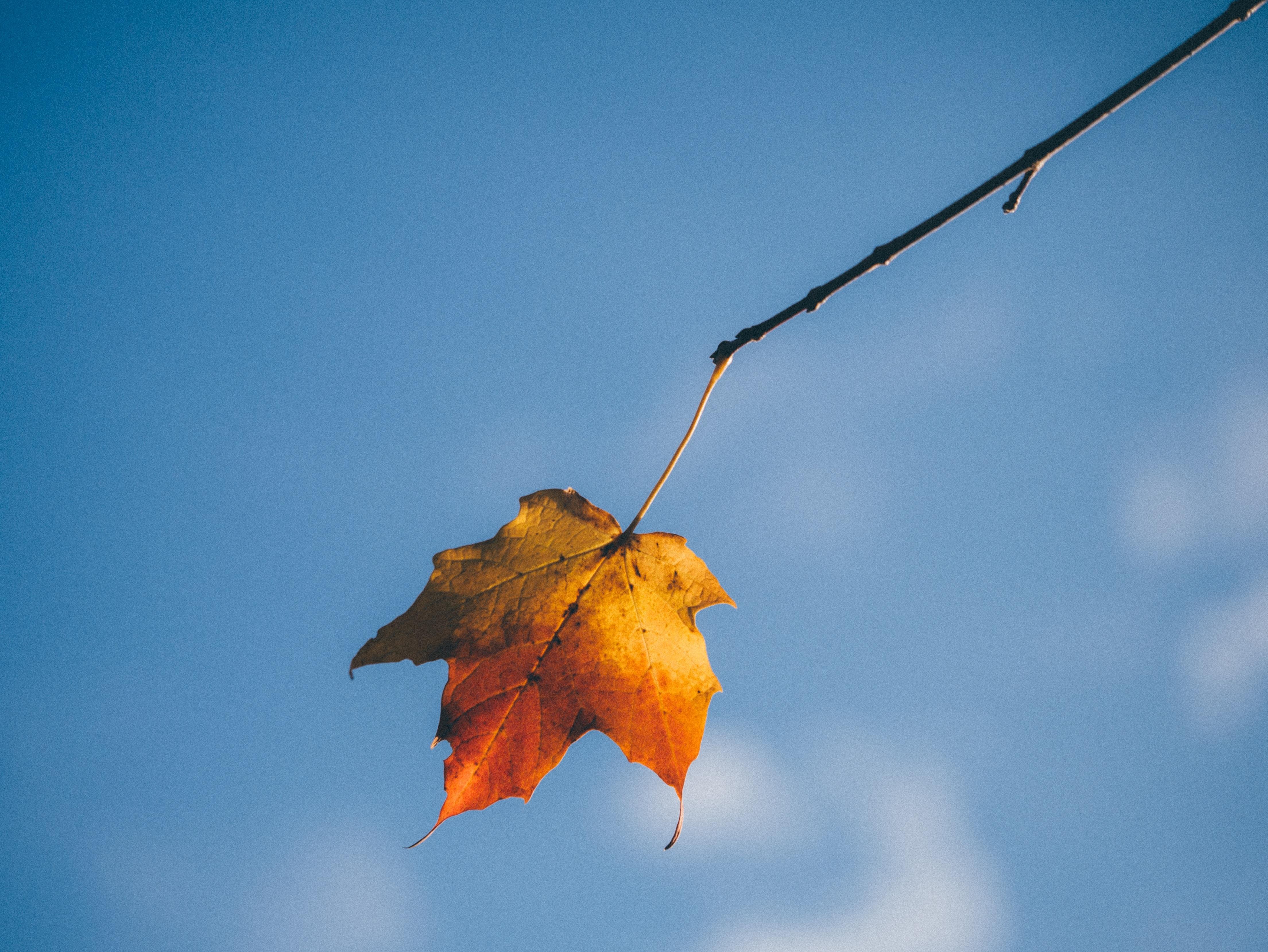 Одинокий кленовый лист картинки щёлкните выбранной