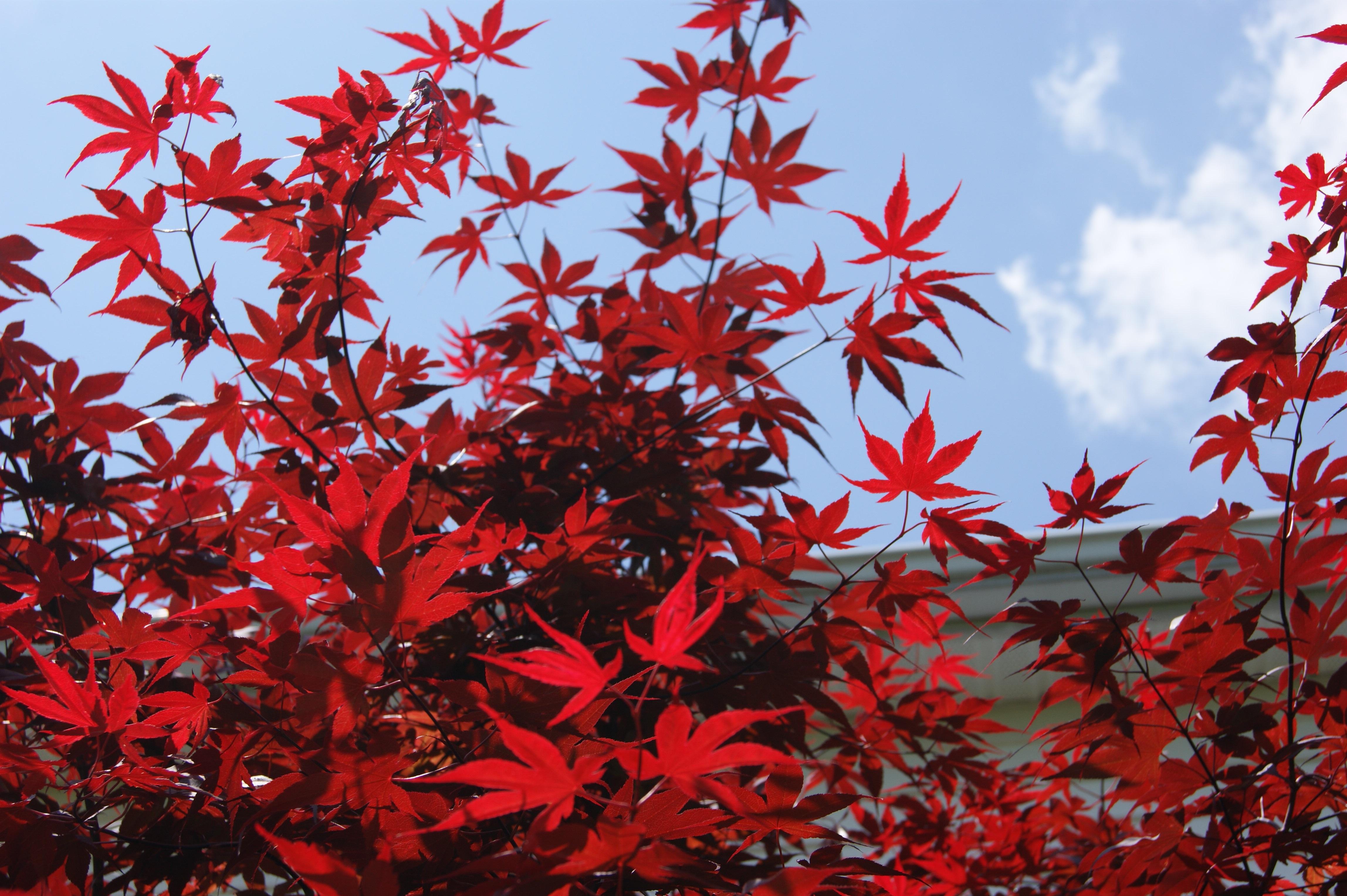 images gratuites : arbre, branche, ciel, feuille, fleur, feuillage