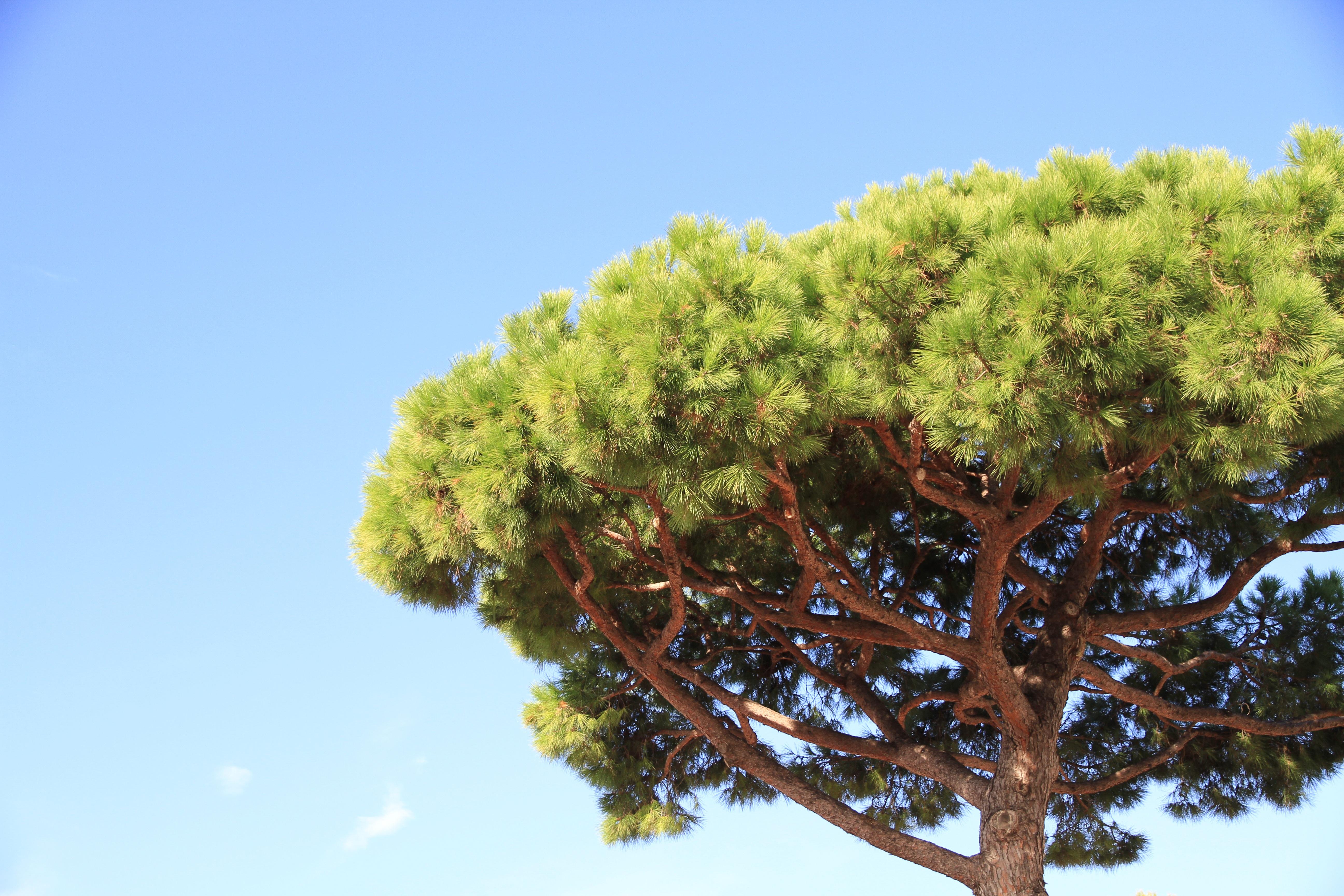 Картинки деревья сосна, открытка картинки рисунки