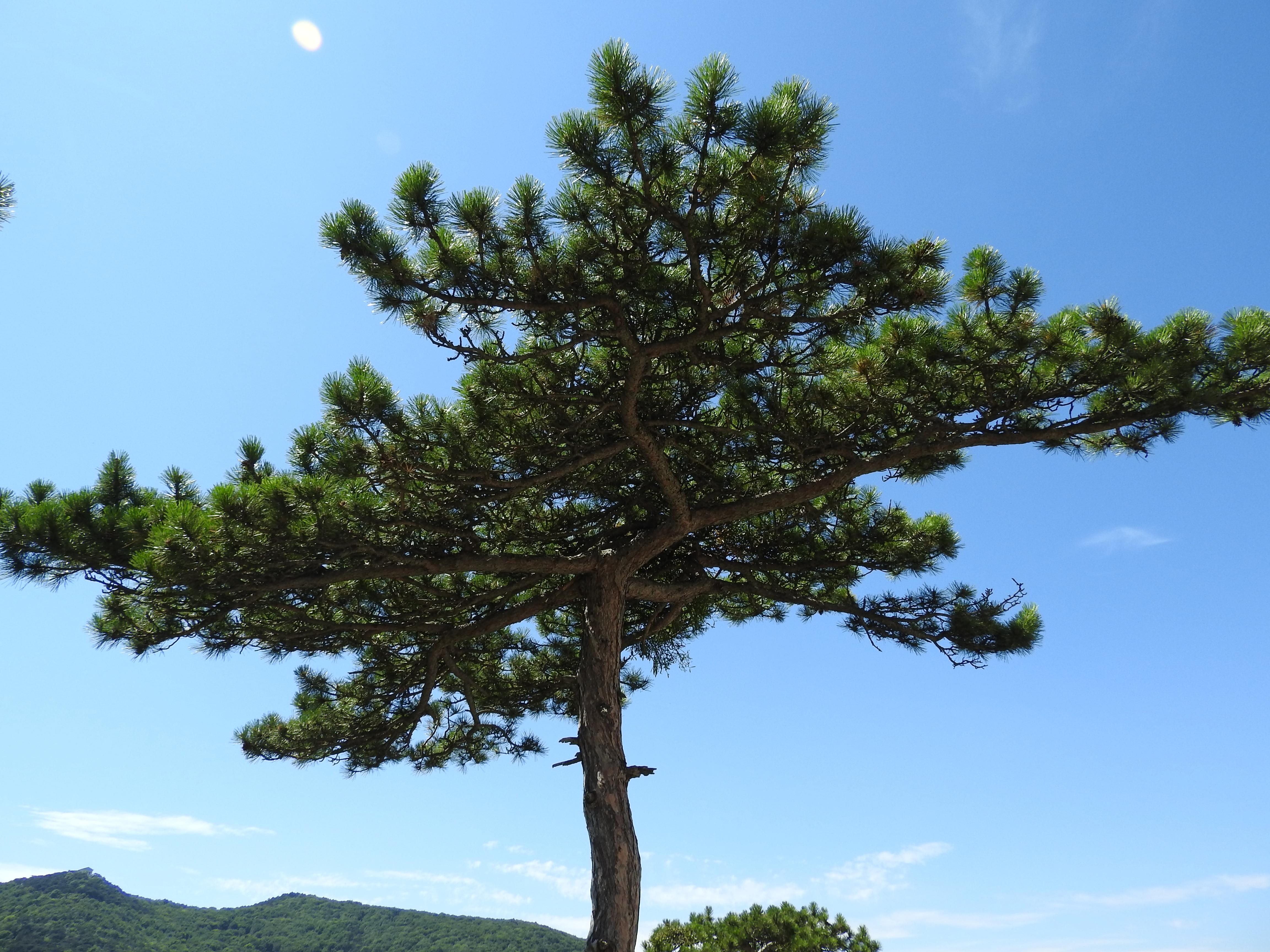 Images gratuites arbre branche ciel pin feuilles for Arbres a feuilles persistantes