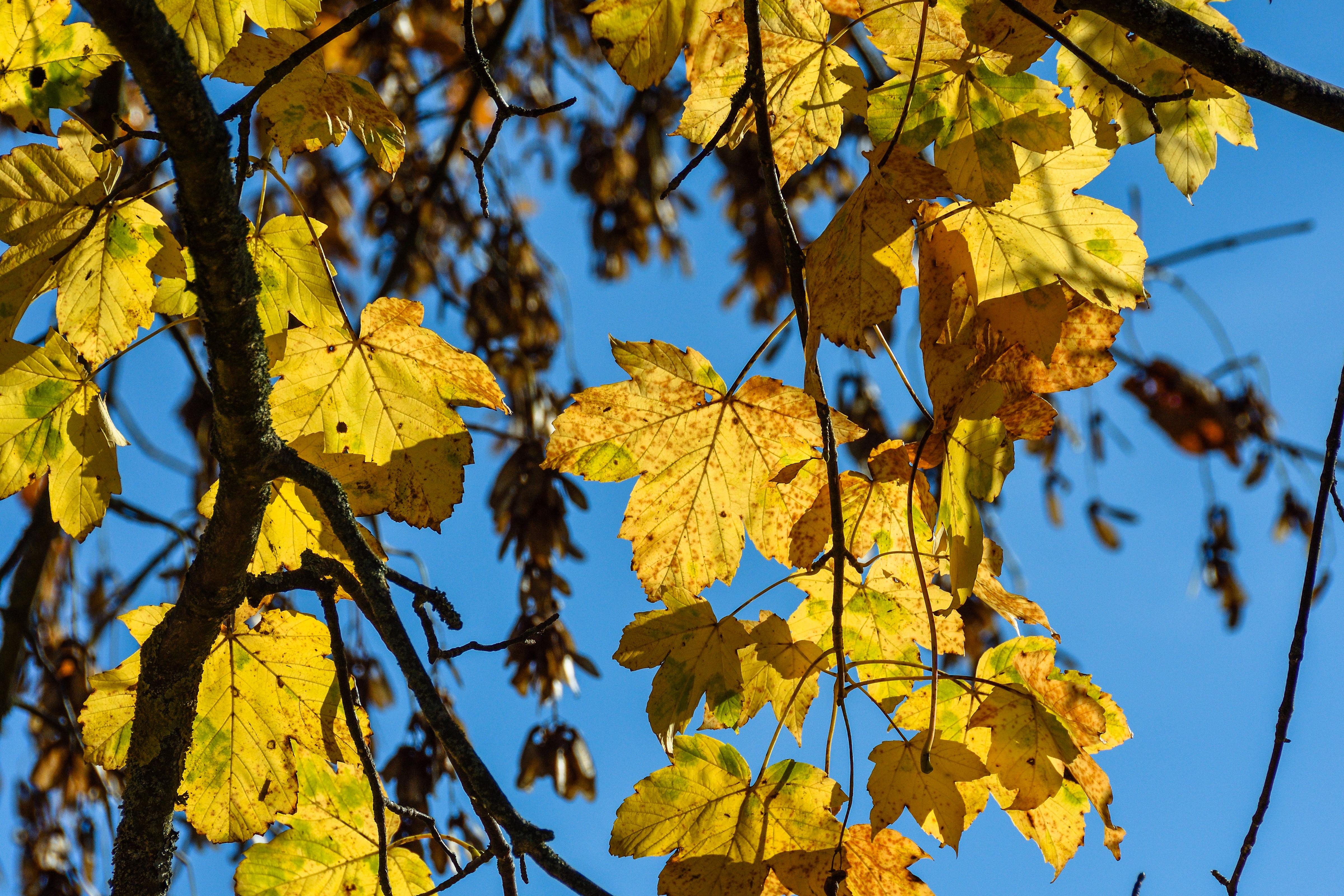 Kostenlose foto : Baum, Ast, Himmel, Sonnenlicht, Blatt, Herbst ...