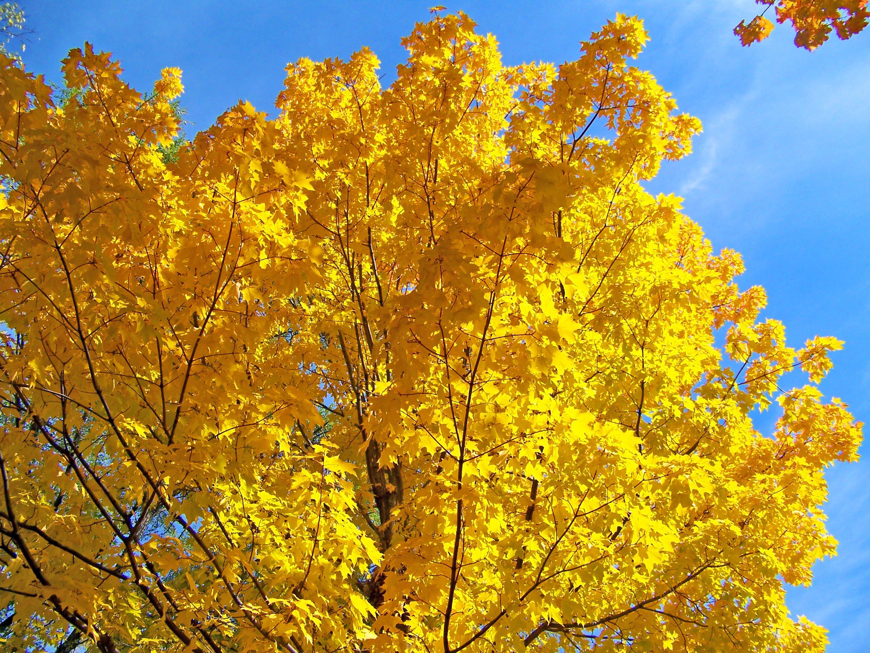 Fotos gratis : rama, cielo, luz de sol, hoja, otoño, flor, amarillo ...