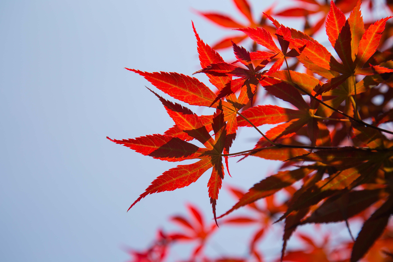Plante feuilles rouges fabulous cornouiller blanc cornus for Plante ligneuse