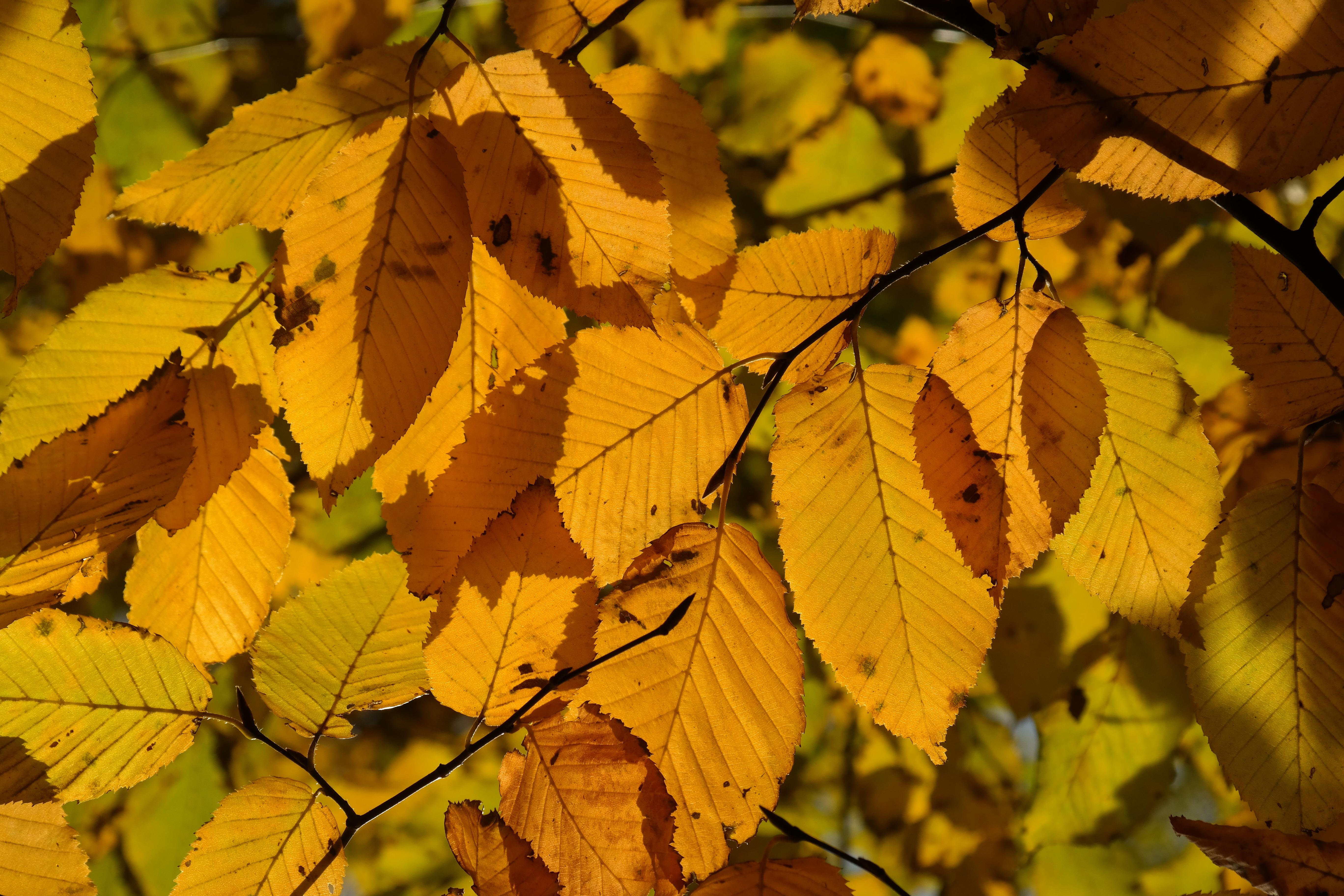 Fotoğraf Ağaç şube Güneş ışığı Yaprak Sonbahar Sarı Sezon