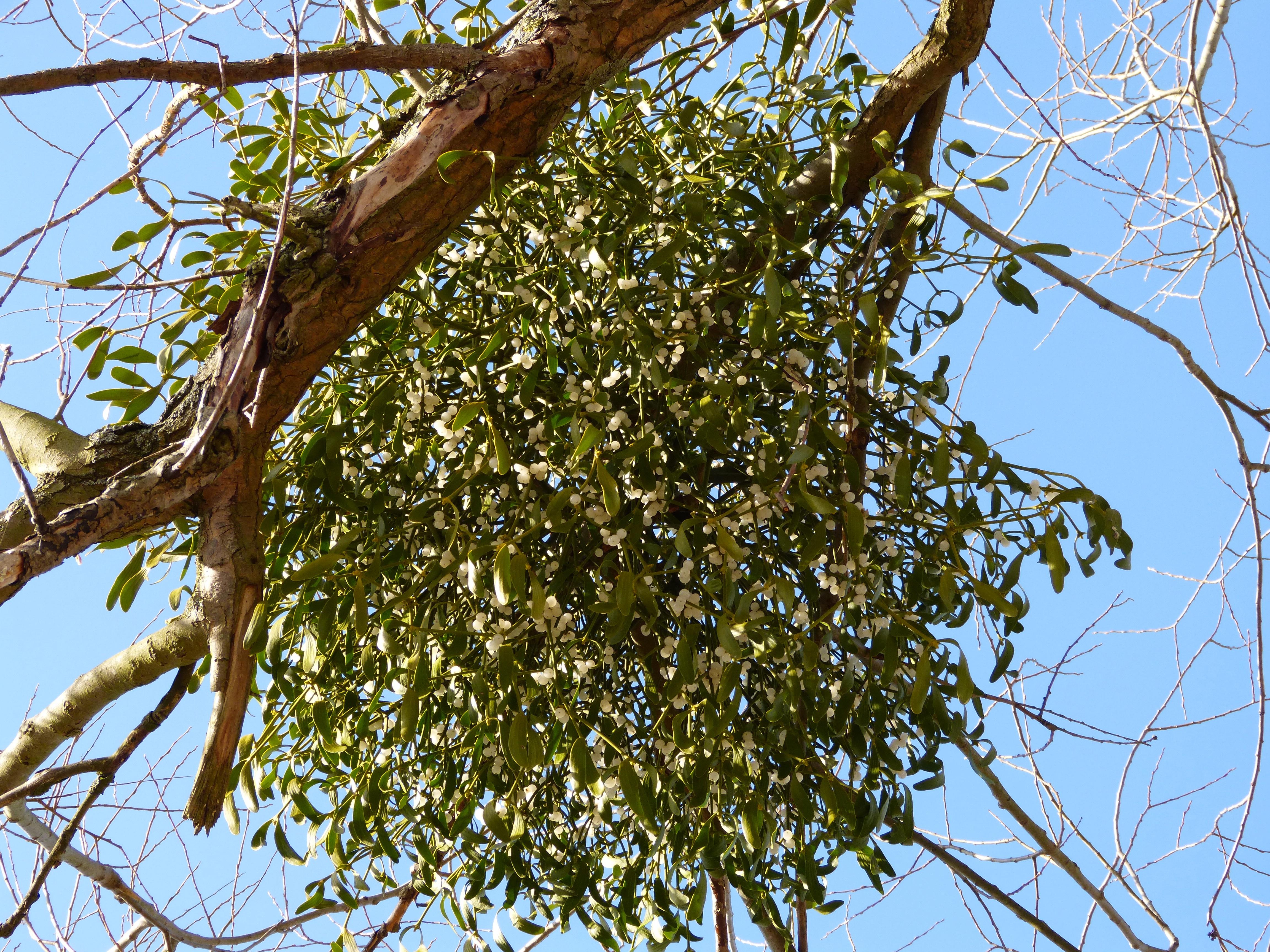 Омела на деревьях картинки