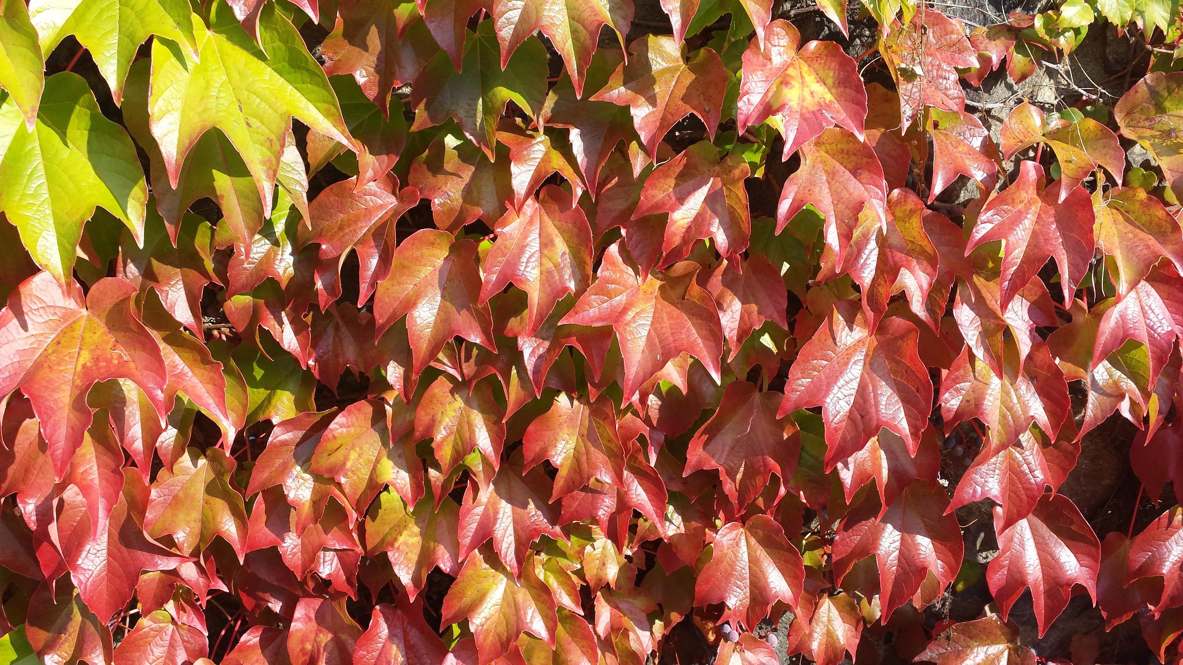Gambar Cabang Menanam Sinar Matahari Daun Bunga Merah Ivy