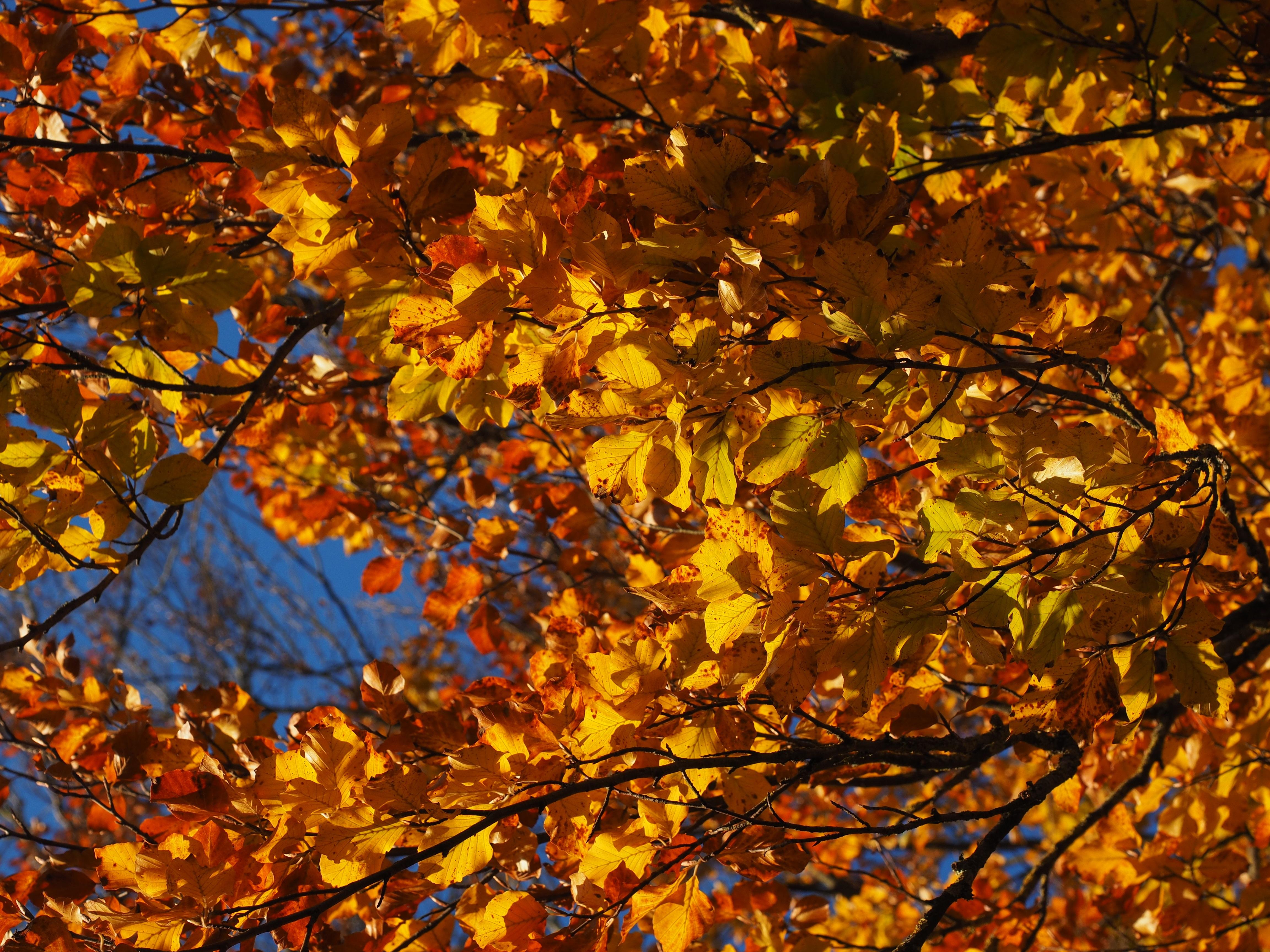 images gratuites arbre branche lumi re du soleil feuille d 39 or l 39 automne color saison. Black Bedroom Furniture Sets. Home Design Ideas