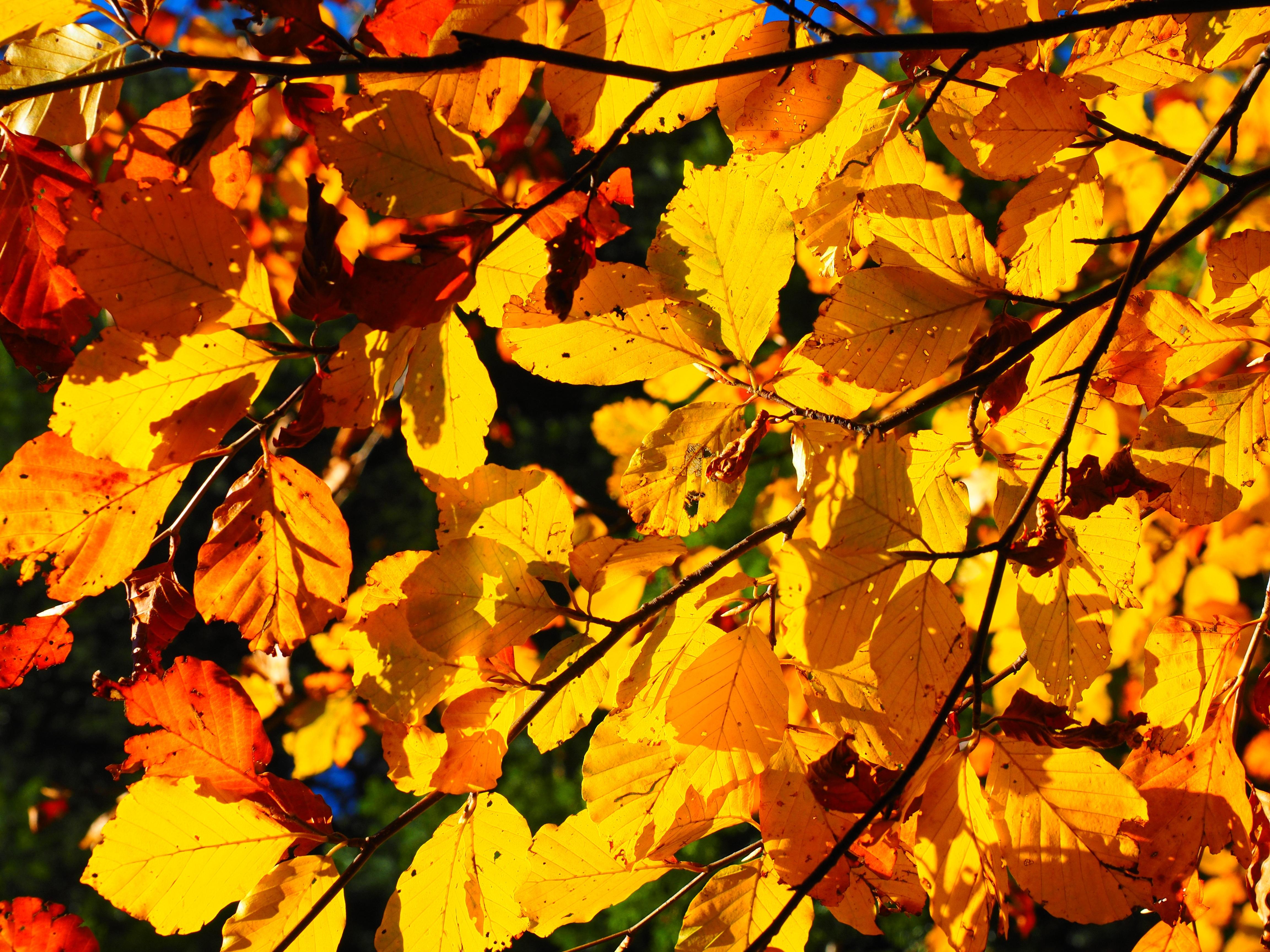 images gratuites arbre branche lumi re du soleil d 39 or l 39 automne color saison rable. Black Bedroom Furniture Sets. Home Design Ideas
