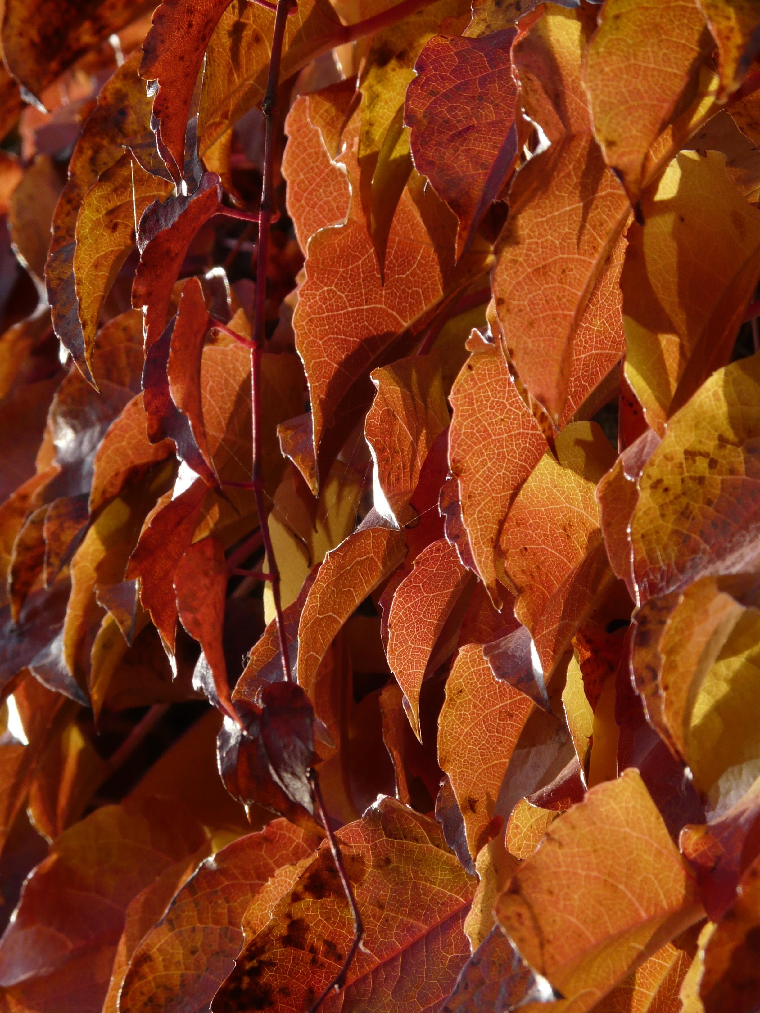 Fotoğraf Ağaç şube Yaprak çiçek Taçyaprağı Kırmızı Sonbahar