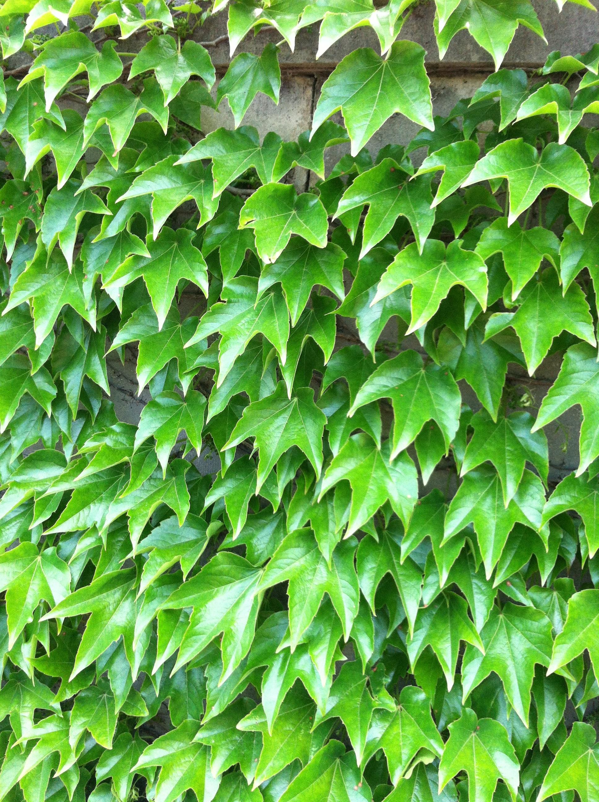 картинки зеленого плюща позитивное, нейтральное