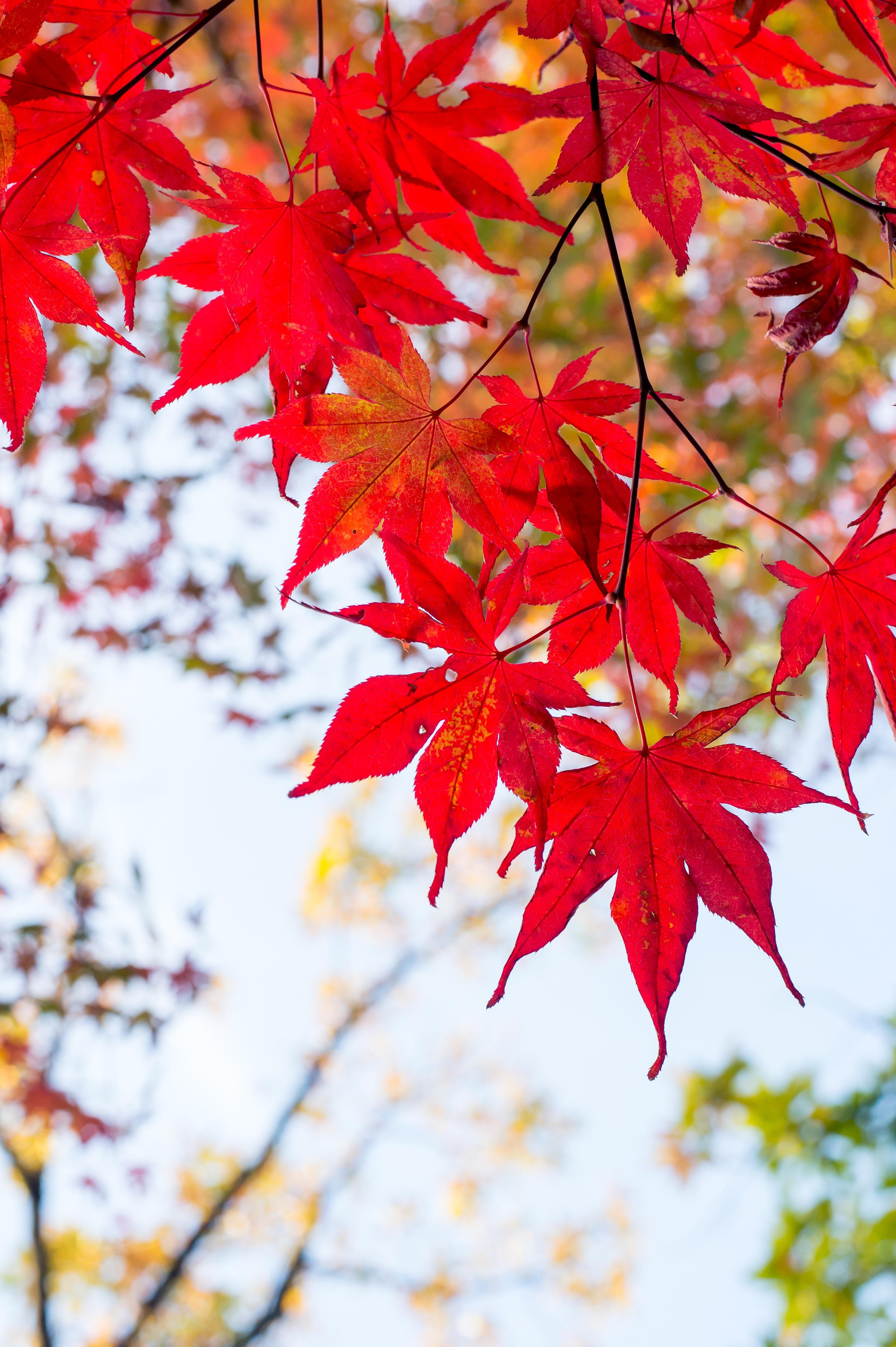 Flower Photography 무료 이미지 분기 목재 빨간 자연스러운 가을 일본 시즌 단풍 나무 단풍잎 카에데 꽃