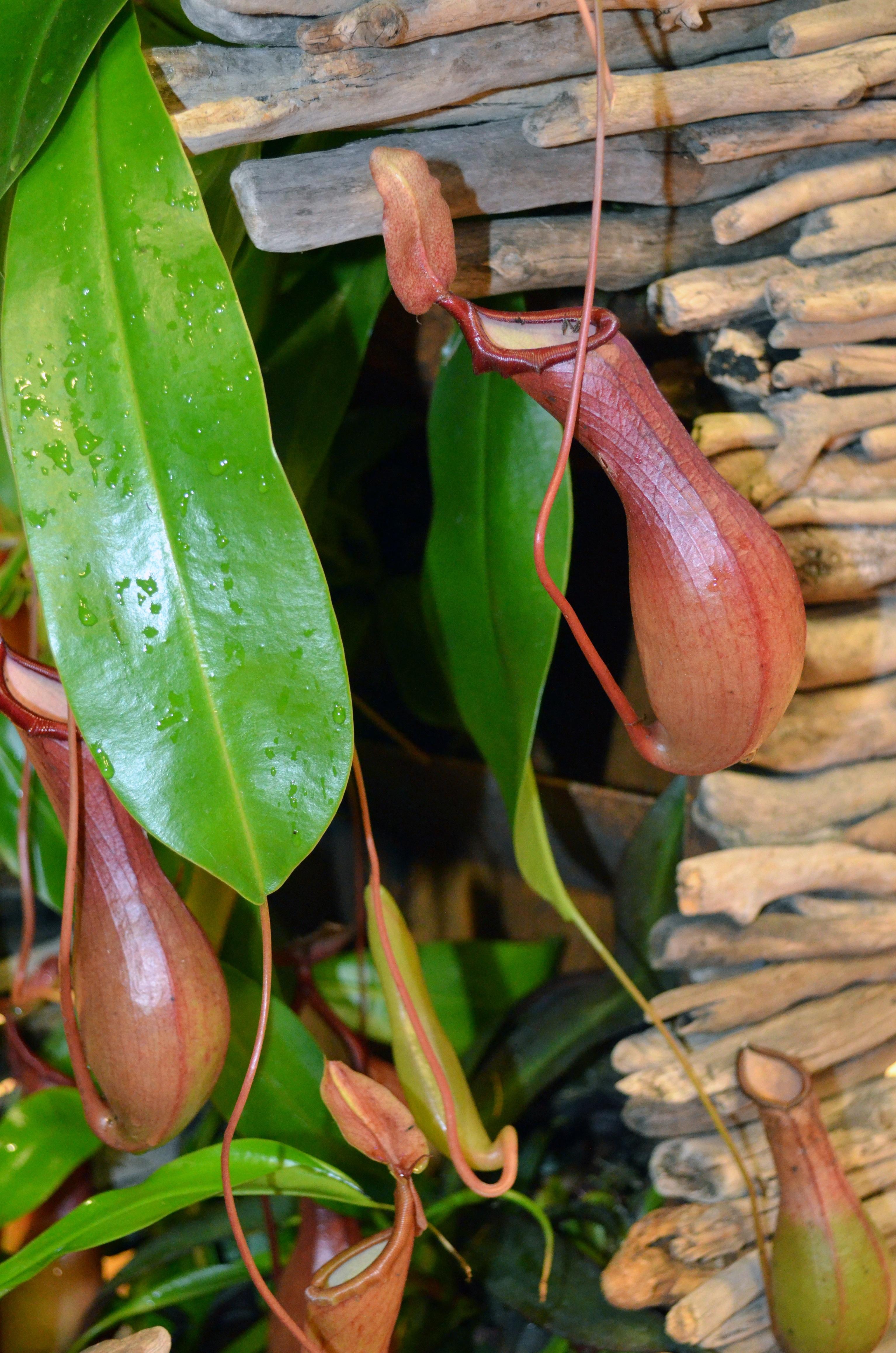plante carnivore gourde