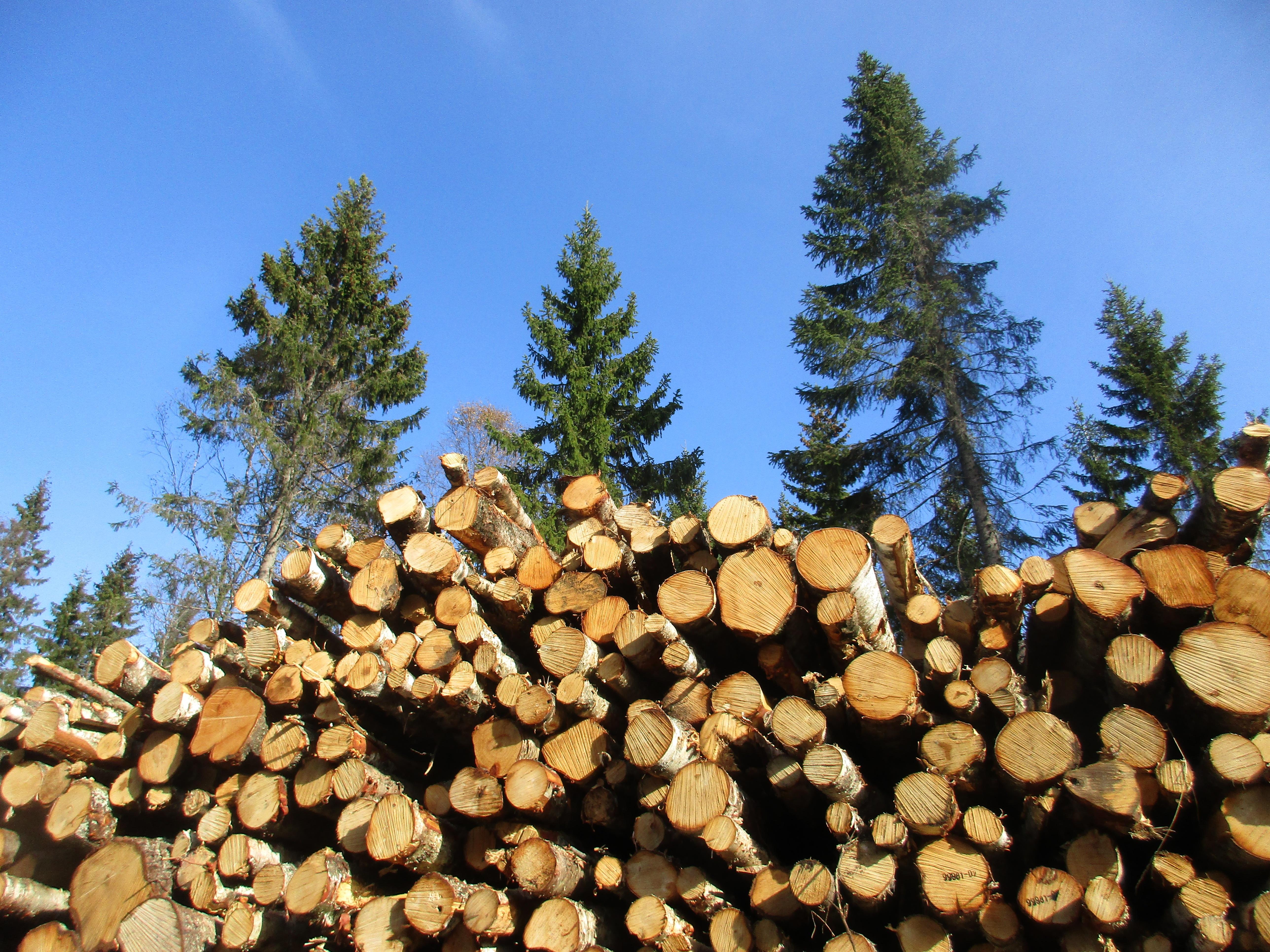 картинки рубленных деревьев сапфиры