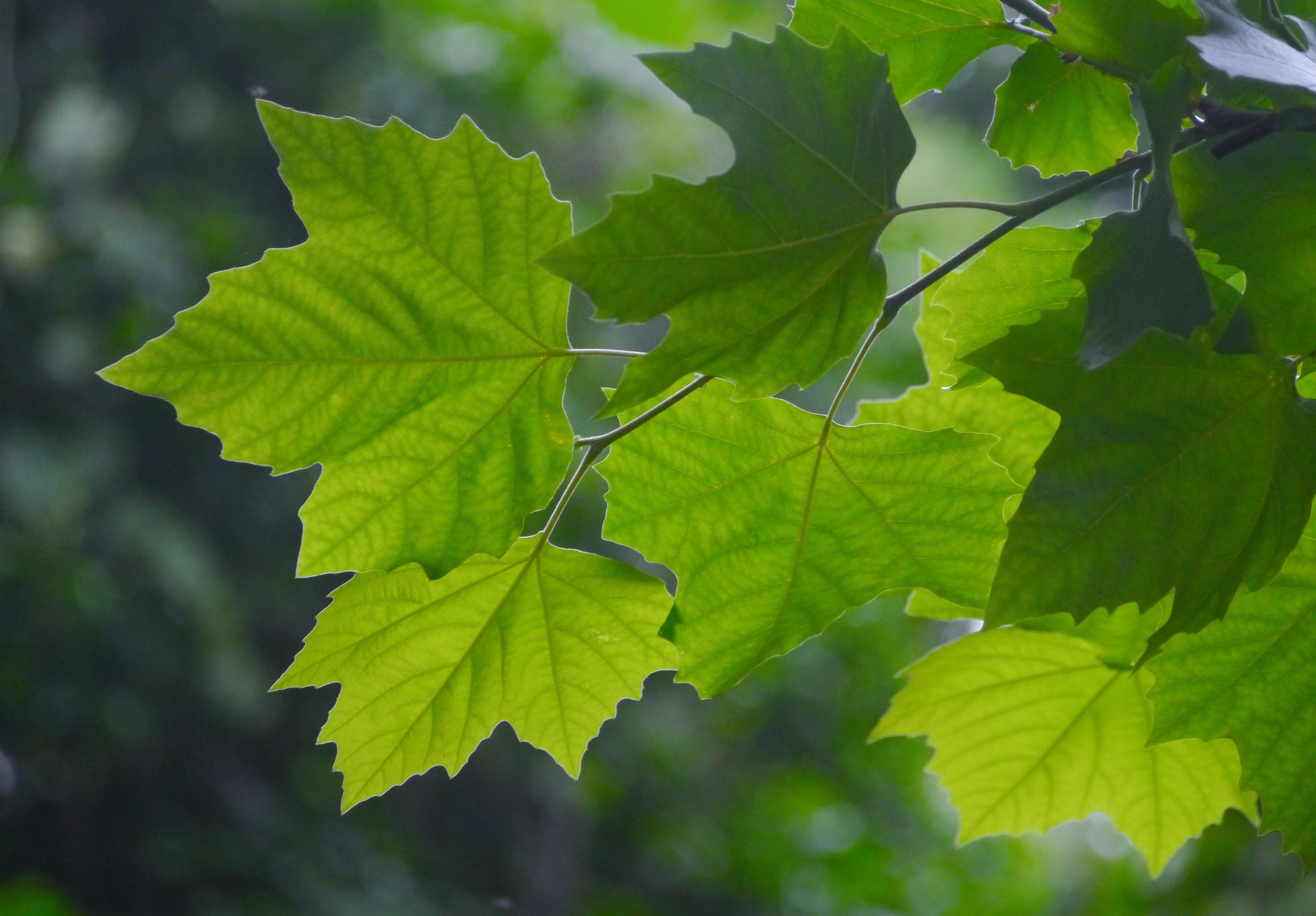 bildet tre gren anlegg sollys blad grønn produsere bjørk