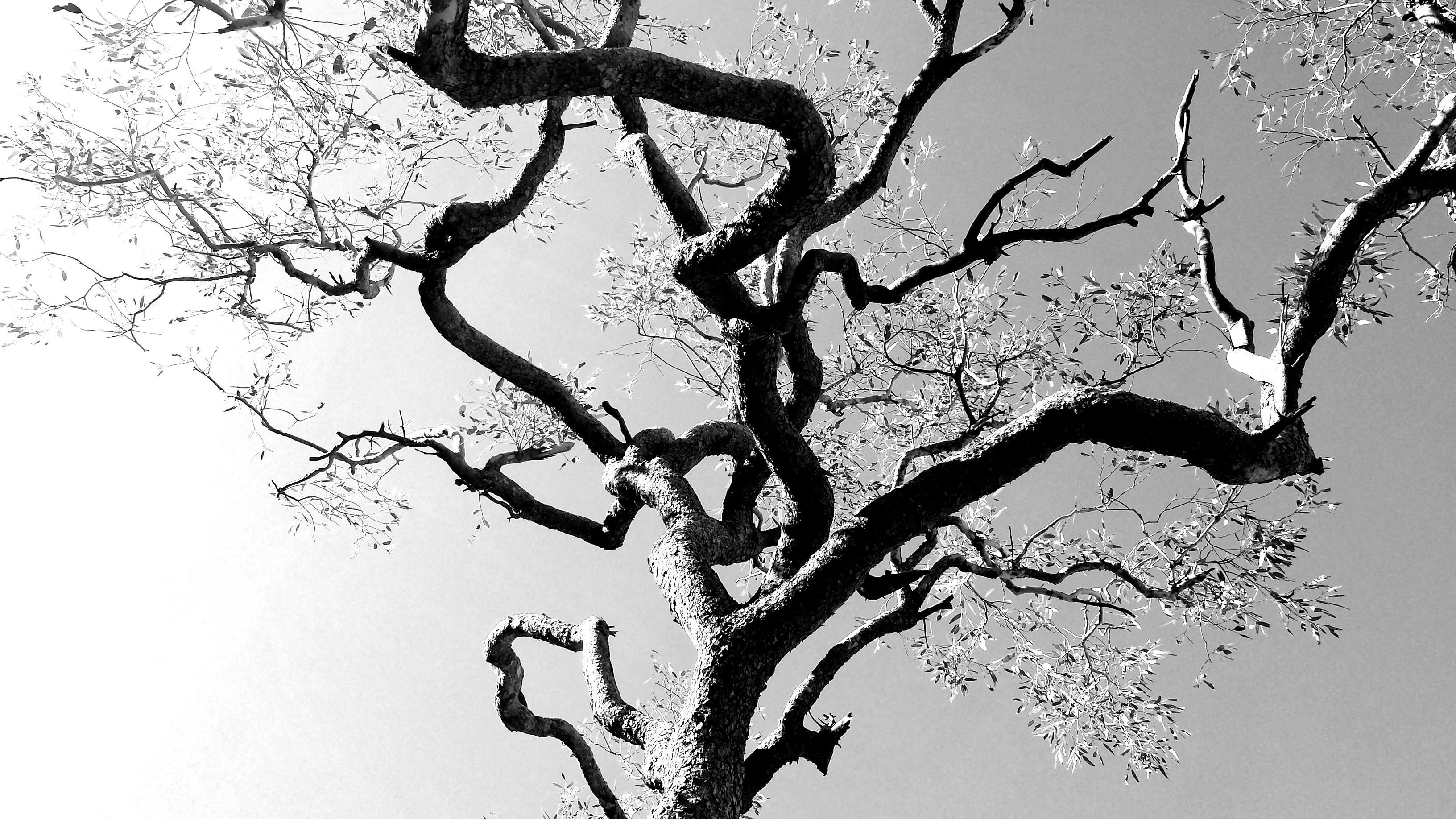 Gambar Pohon Cabang Bayangan Hitam Hitam Dan Putih Menanam