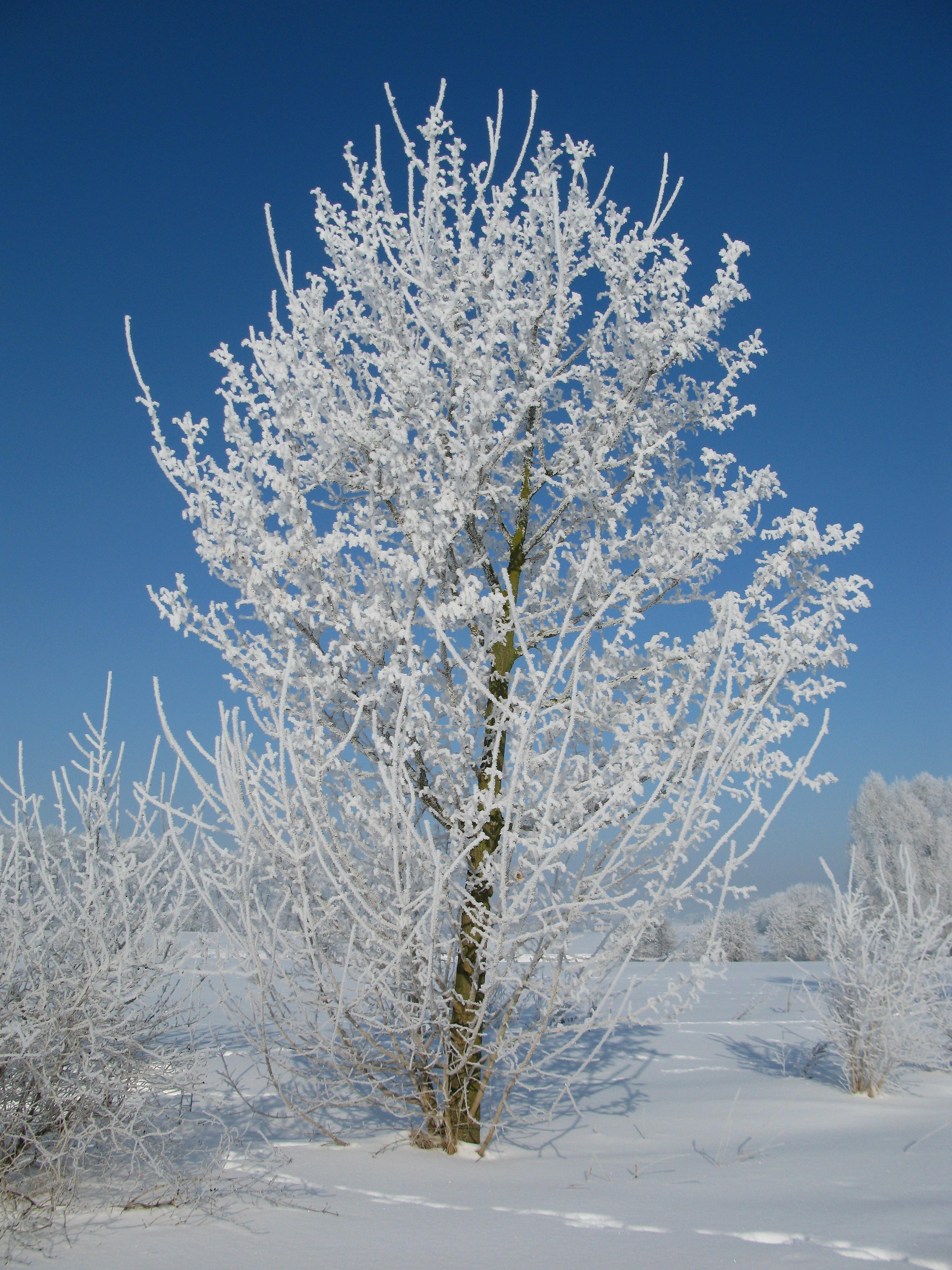 Картинки зимних деревьев и кустарников