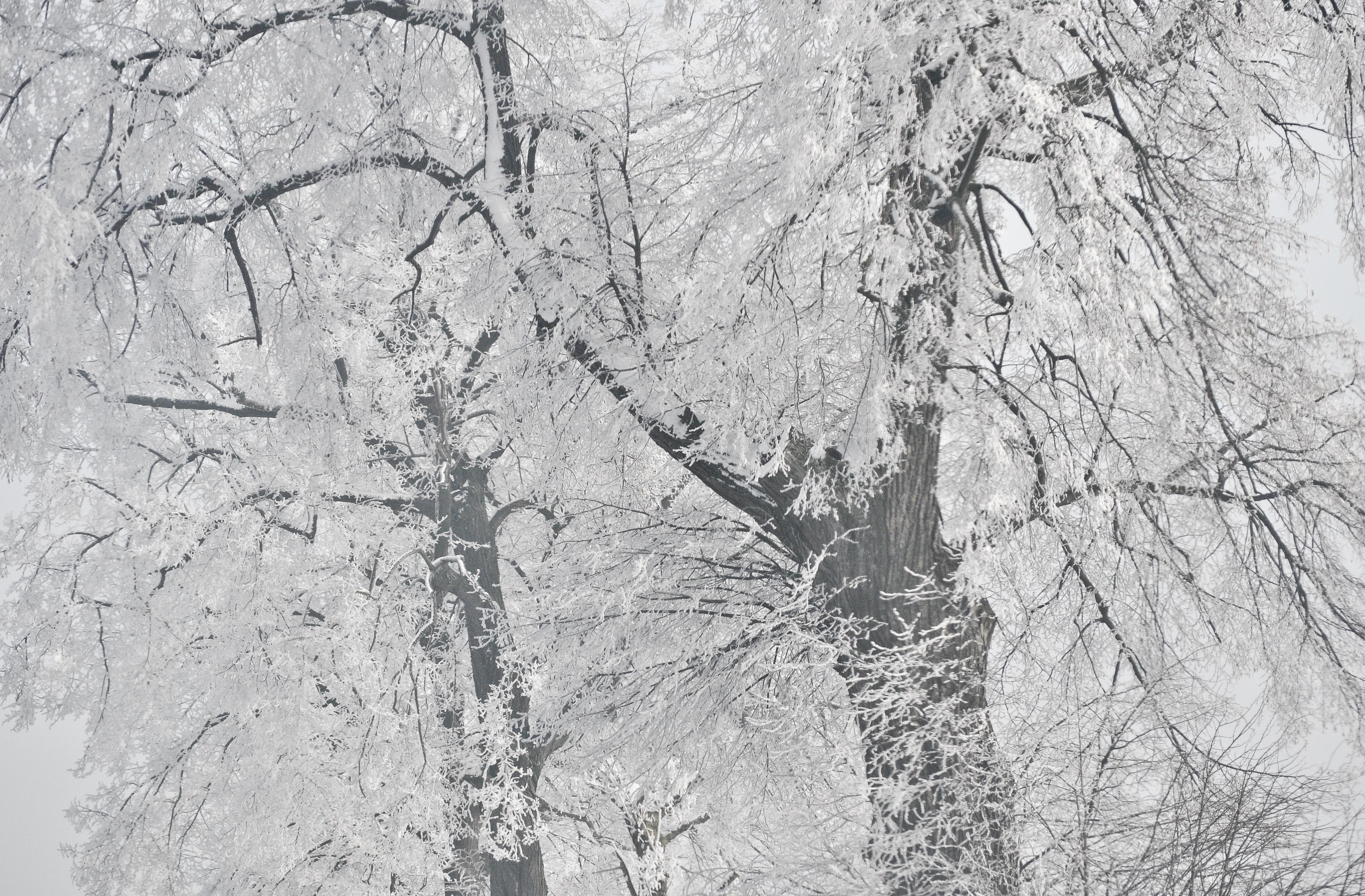 Images Gratuites Arbre Branche Neige Hiver Noir Et Blanc Gel