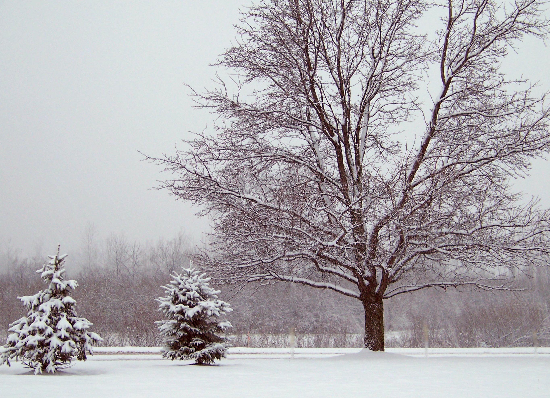 Картинки деревья снегу