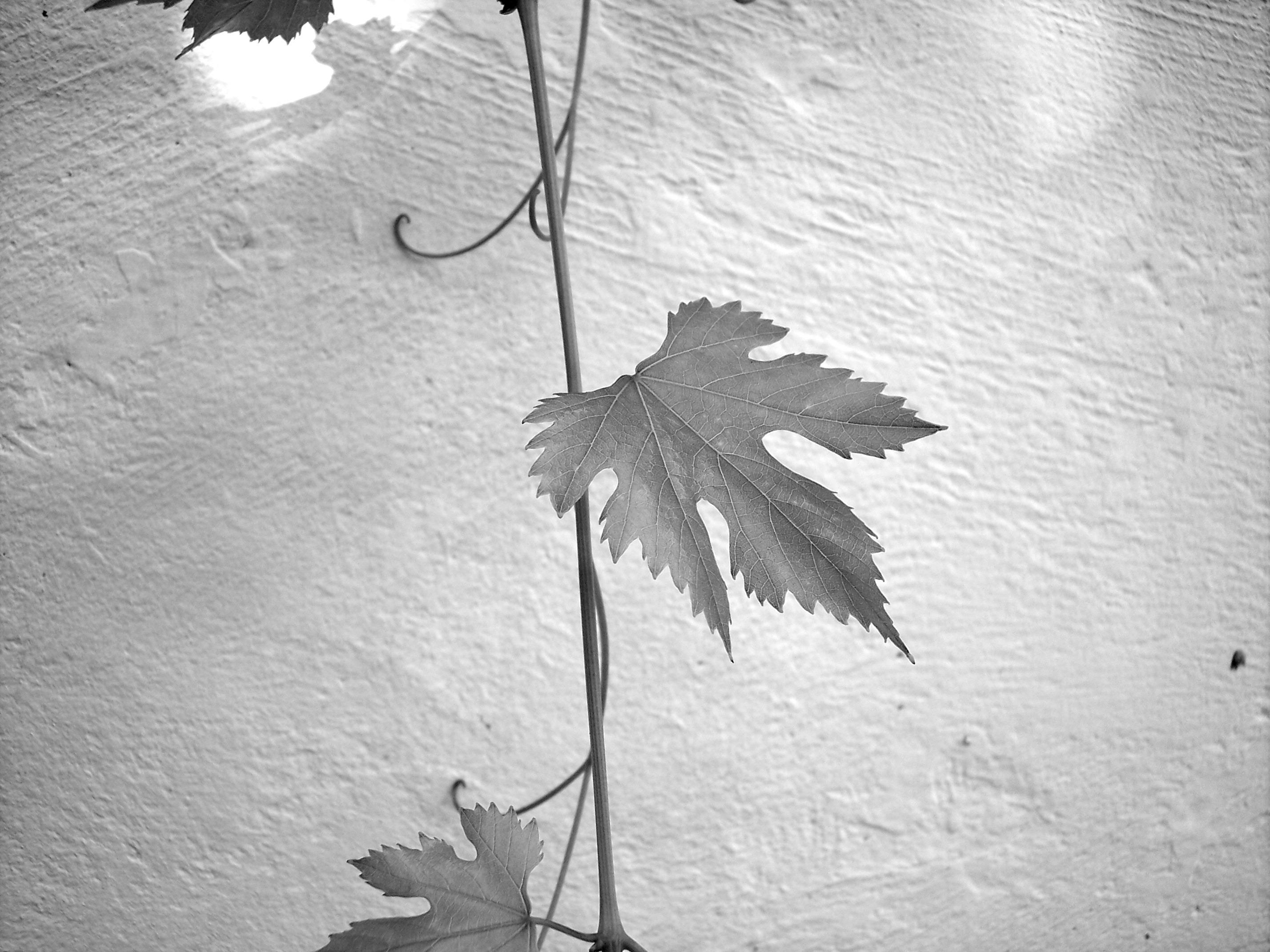 Gambar Pohon Cabang Musim Dingin Sayap Hitam Dan Putih