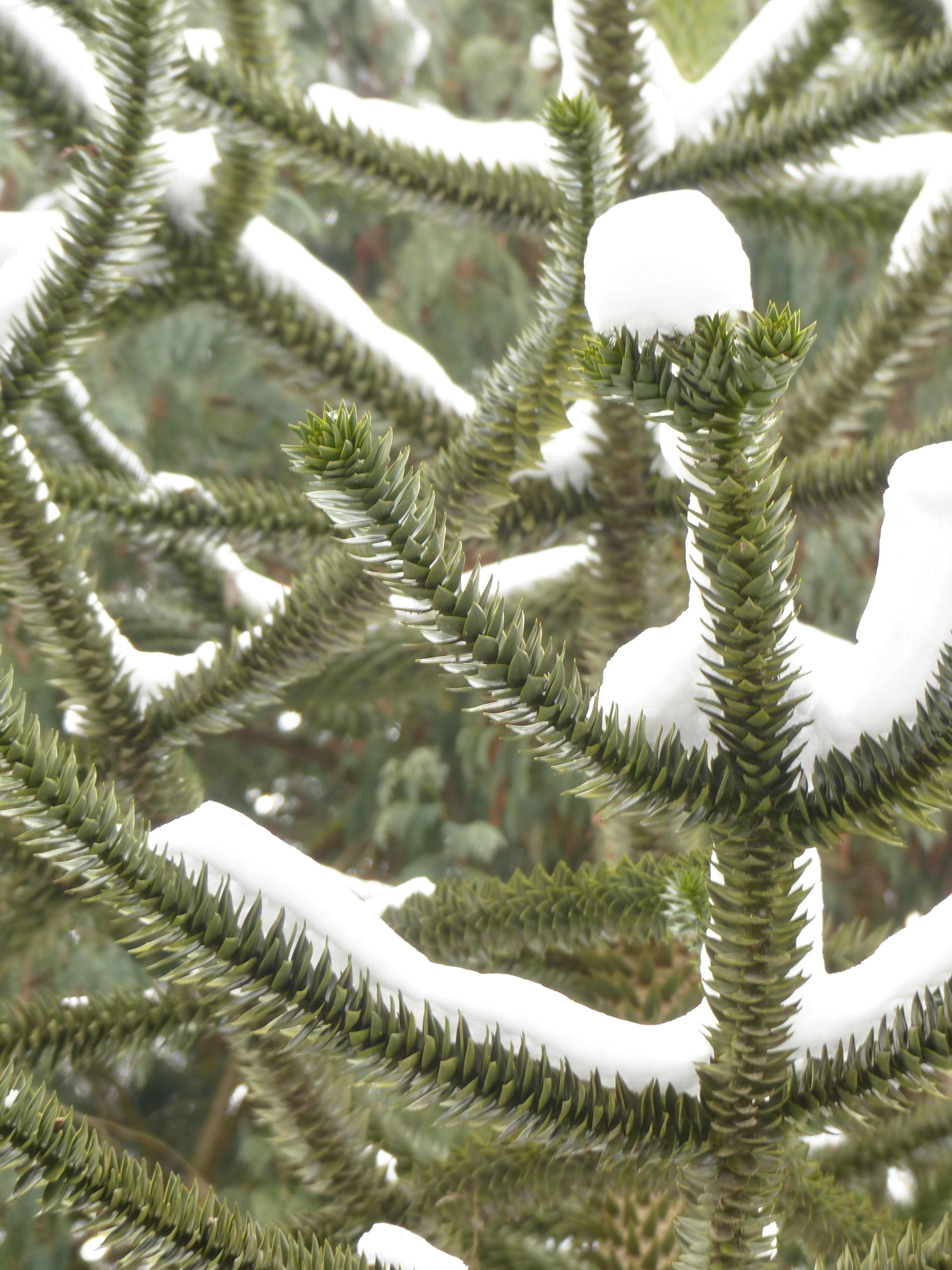 Fotos gratis rbol rama invierno planta escarcha for Arboles de hojas perennes en chile