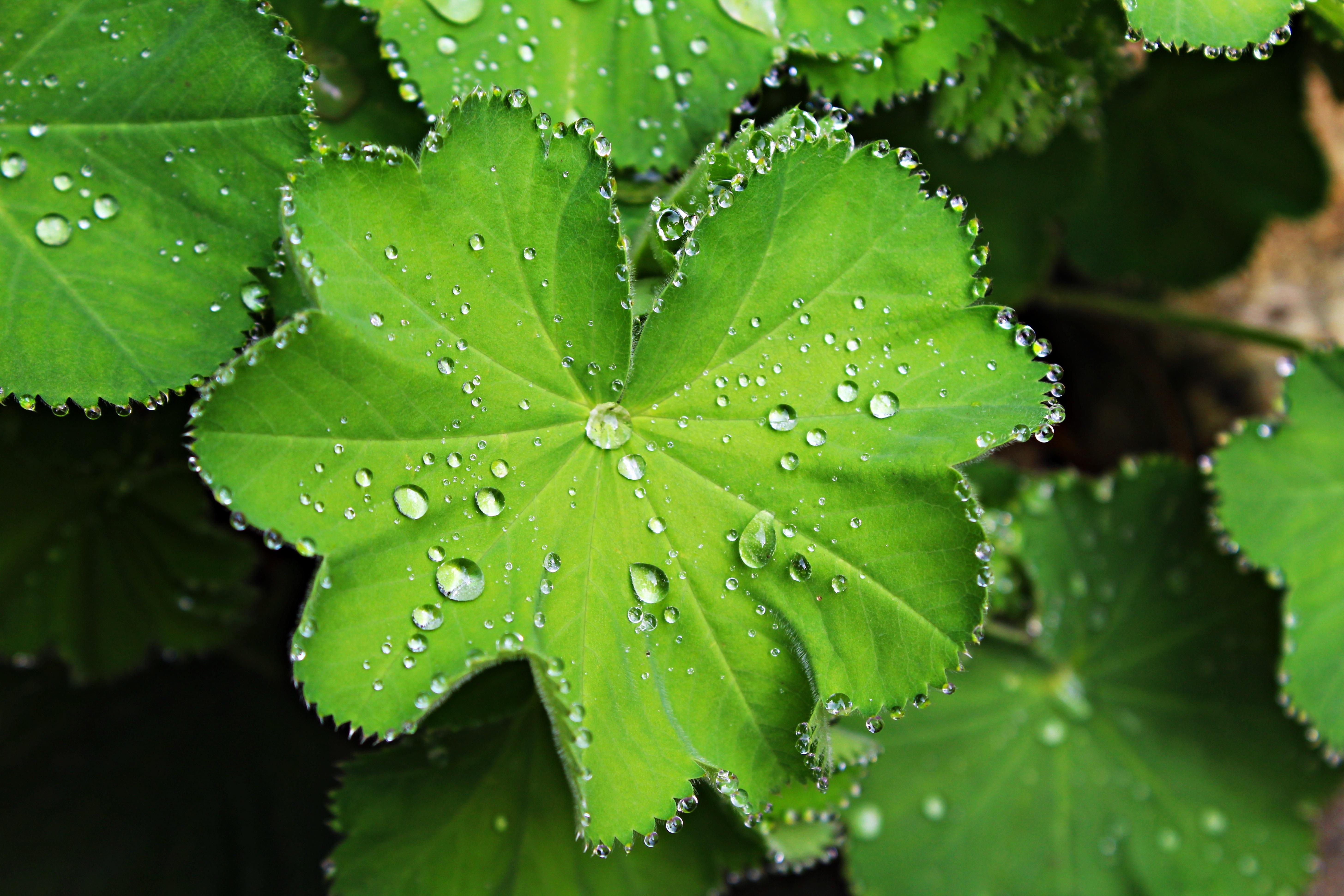 hình ảnh : cây, sương, thực vật, Ánh sáng mặt trời, Lá, màu xanh lá, Sản xuất, Thực vật học, gần, Nhỏ giọt, Cây xanh, Cây bụi, Độ ẩm, Đính cườm, ...