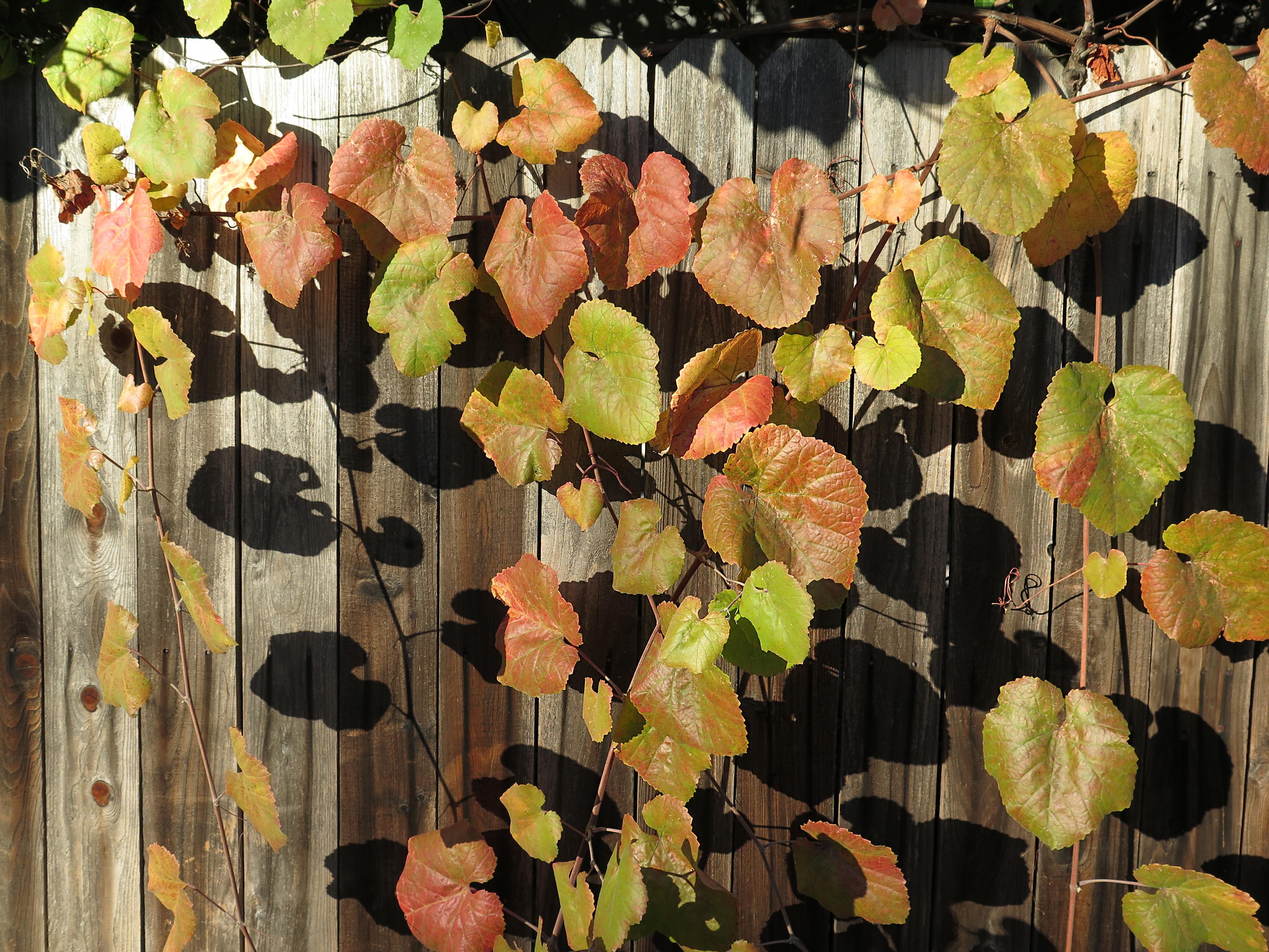 Fotoğraf Ağaç çit Asma Yaprak çiçek Renk Sonbahar Botanik
