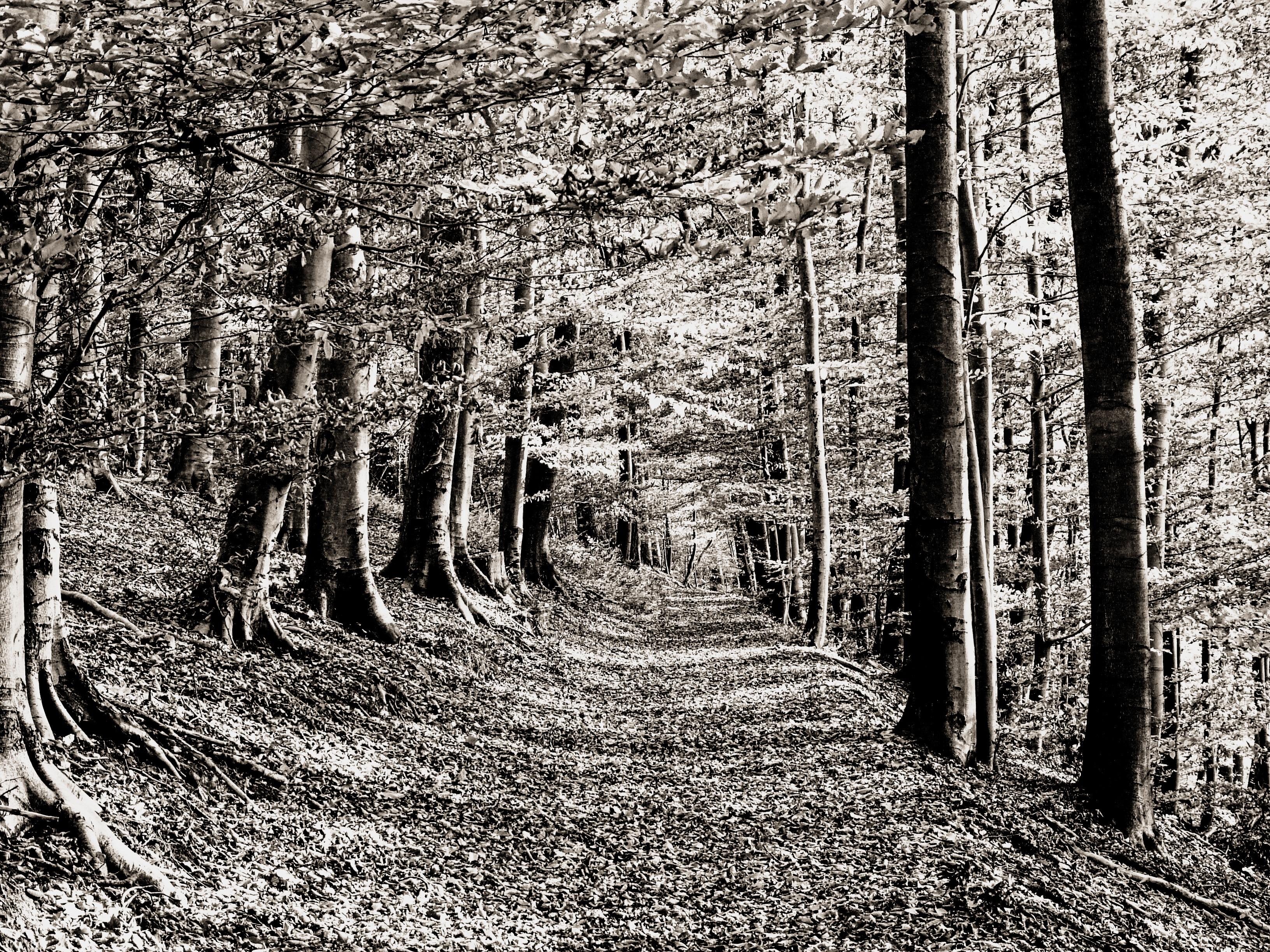 Лес картинки черно белый