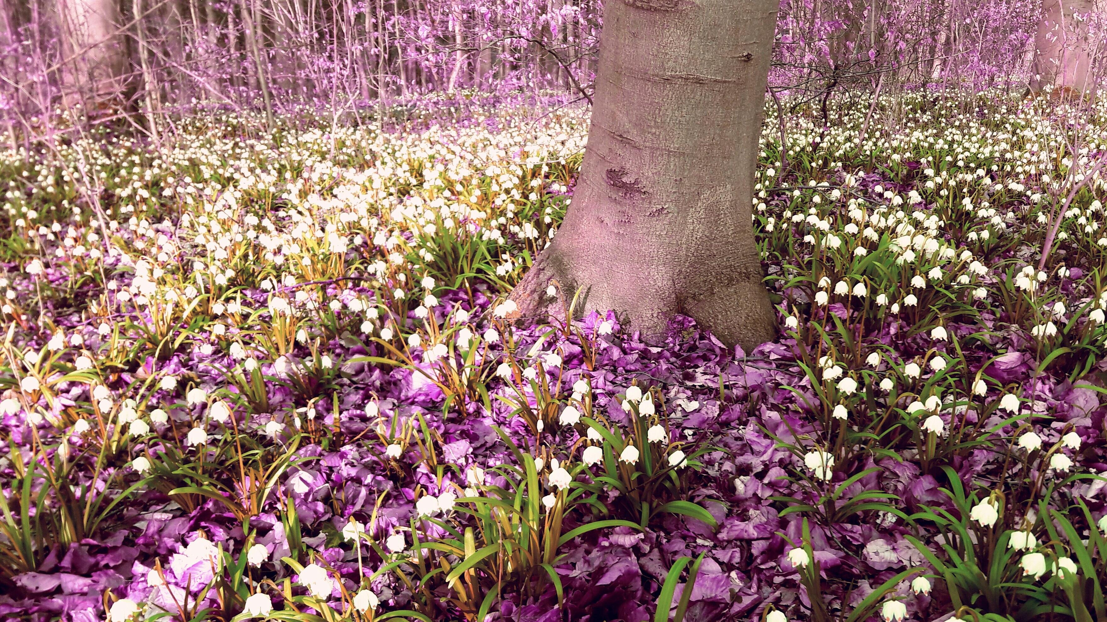 images gratuites arbre fleur blanc prairie violet printemps botanique jardin rose. Black Bedroom Furniture Sets. Home Design Ideas