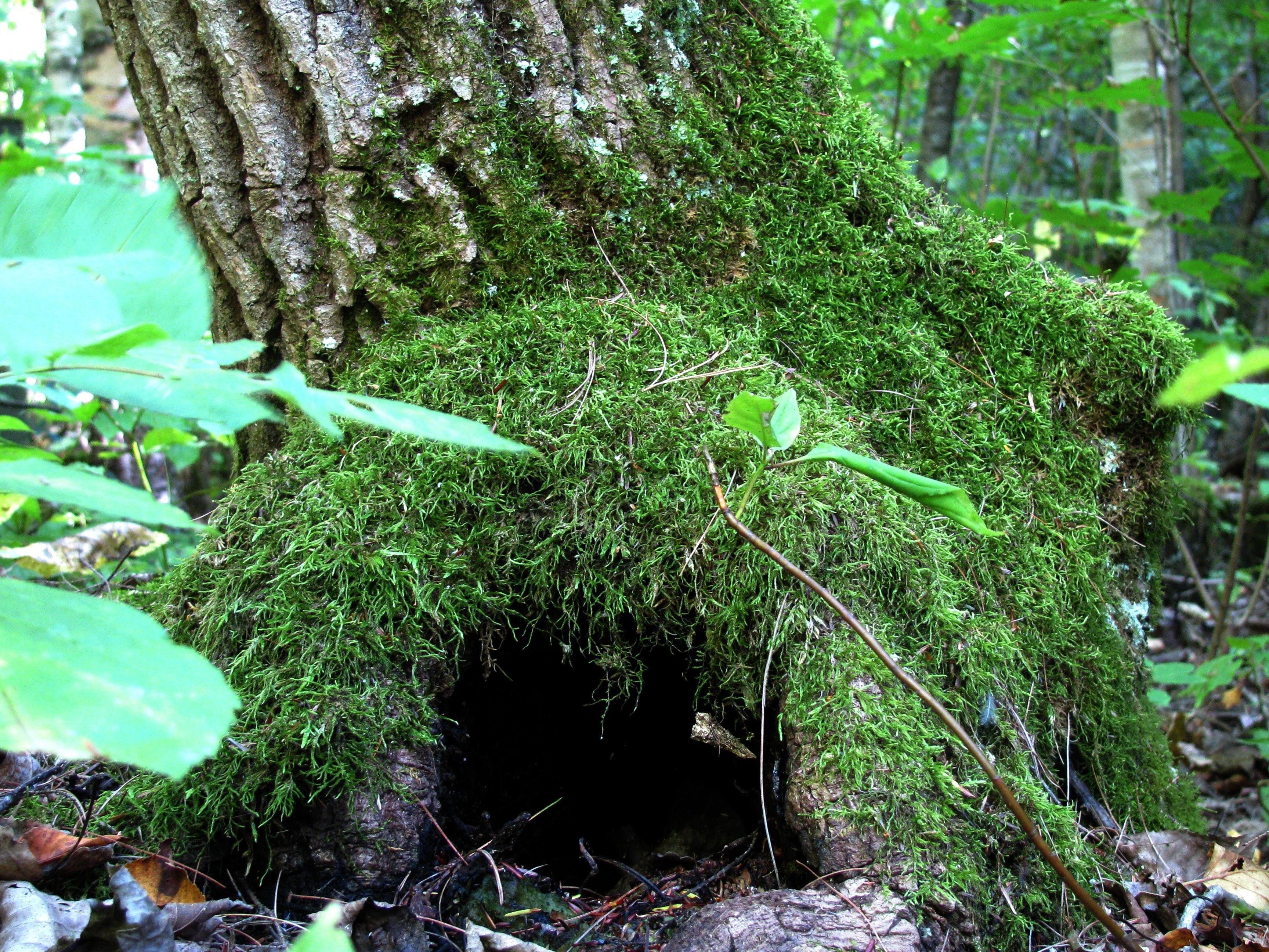 Baum Wald Ast Pflanze Blume Kofferraum Moos Grün Dschungel Botanik Flora Zimmerpflanze Fichte Strauch Regenwald Abscheulich