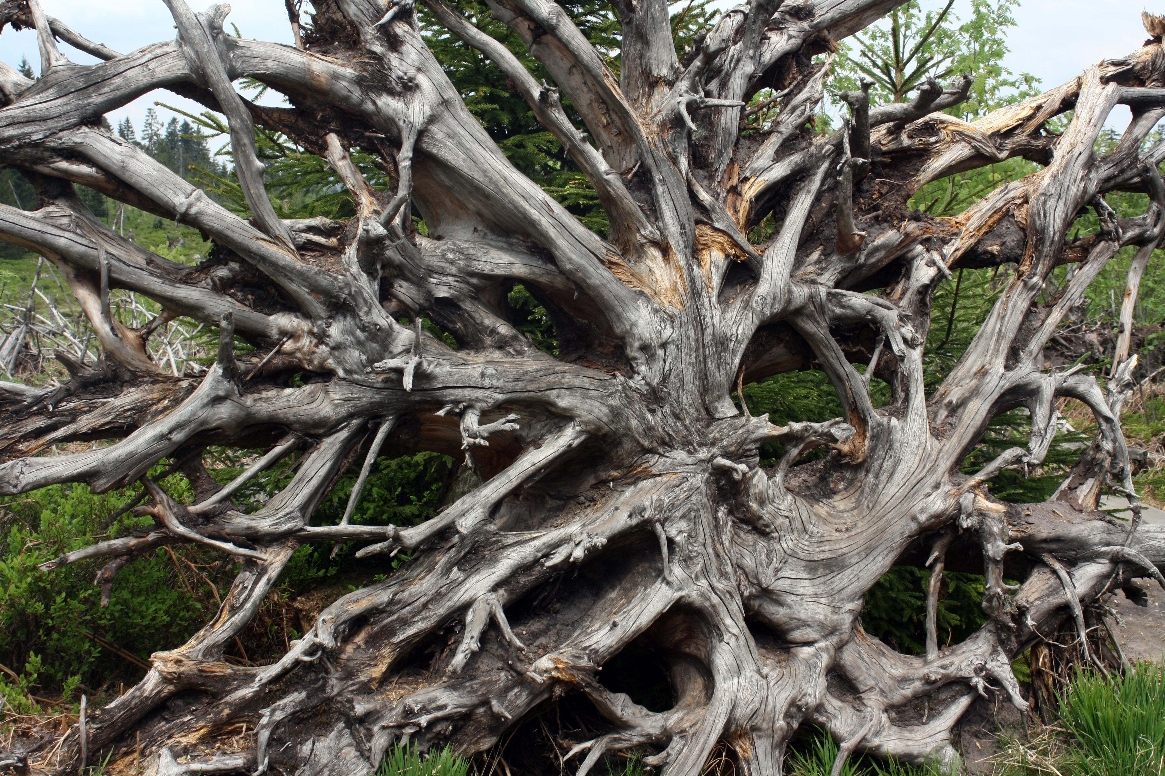 Images gratuites arbre branche fleur vent tronc - Arbre a faible racine ...