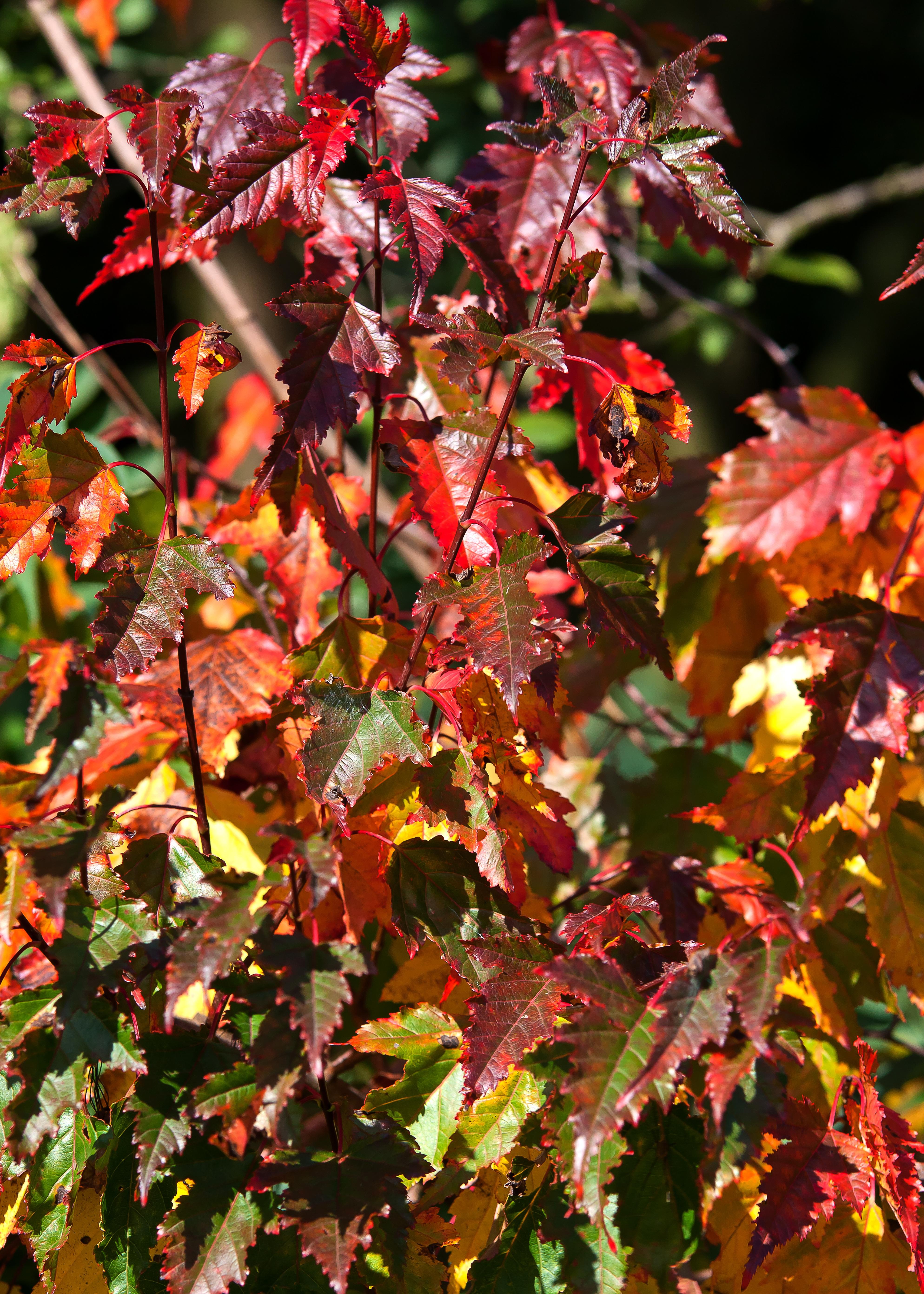 arbuste a feuille rouge estivale feuilles rouges brillantes arbustes fleurs floraison estivale. Black Bedroom Furniture Sets. Home Design Ideas