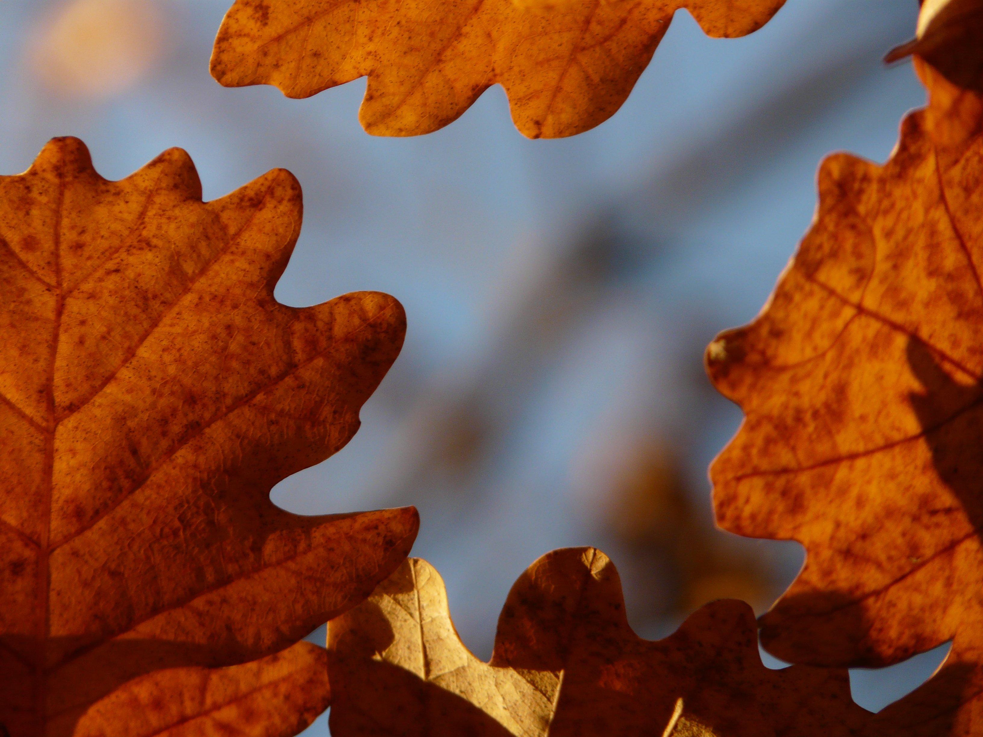 картинка кленового и дубового листа