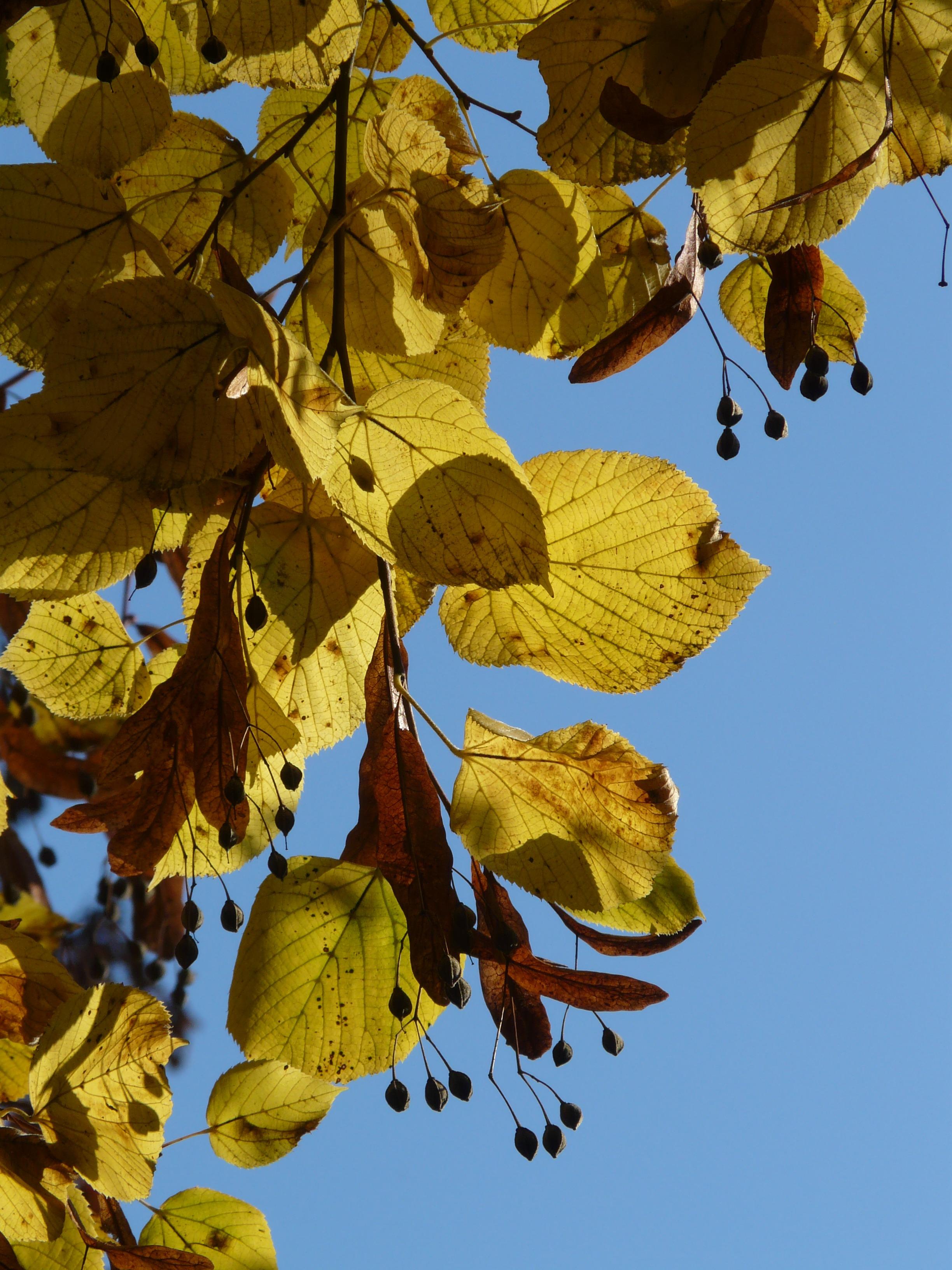 Липы осенью картинка