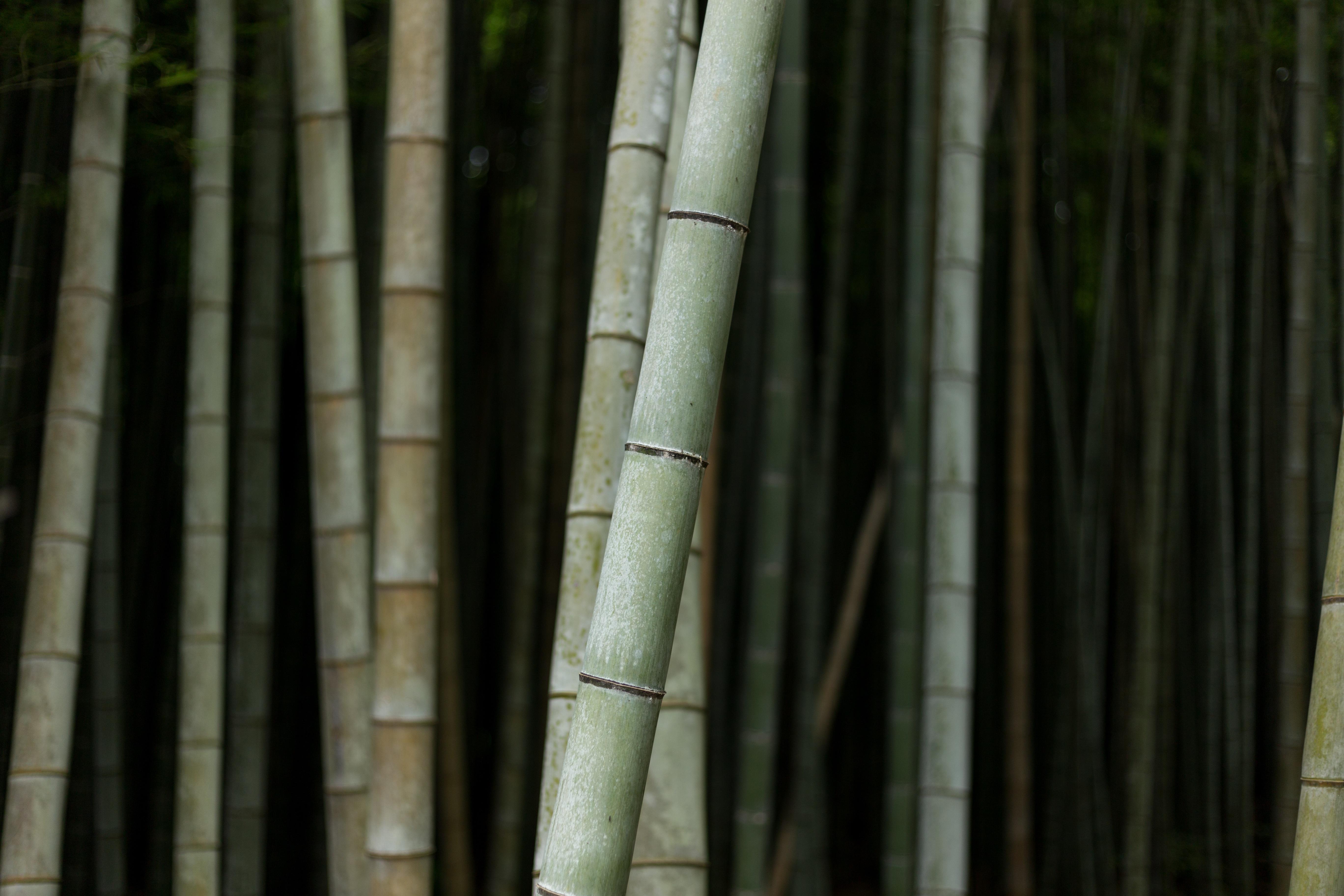 Images gratuites arbre for t branche bois tronc tige bambou tige de plante plante - Tronc de bambou decoratif ...