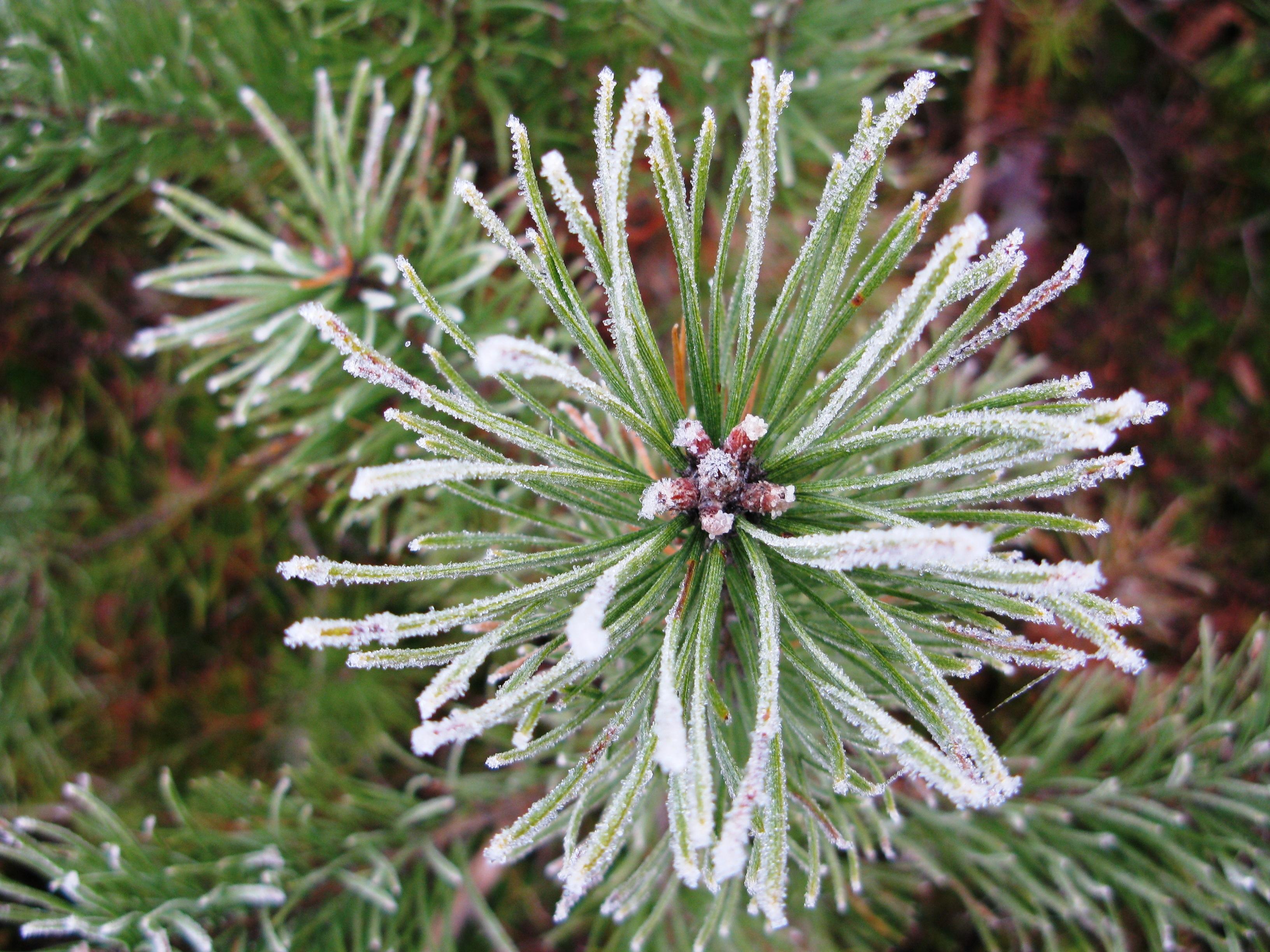 images gratuites arbre branche neige du froid hiver plante blanc feuille fleur gel. Black Bedroom Furniture Sets. Home Design Ideas