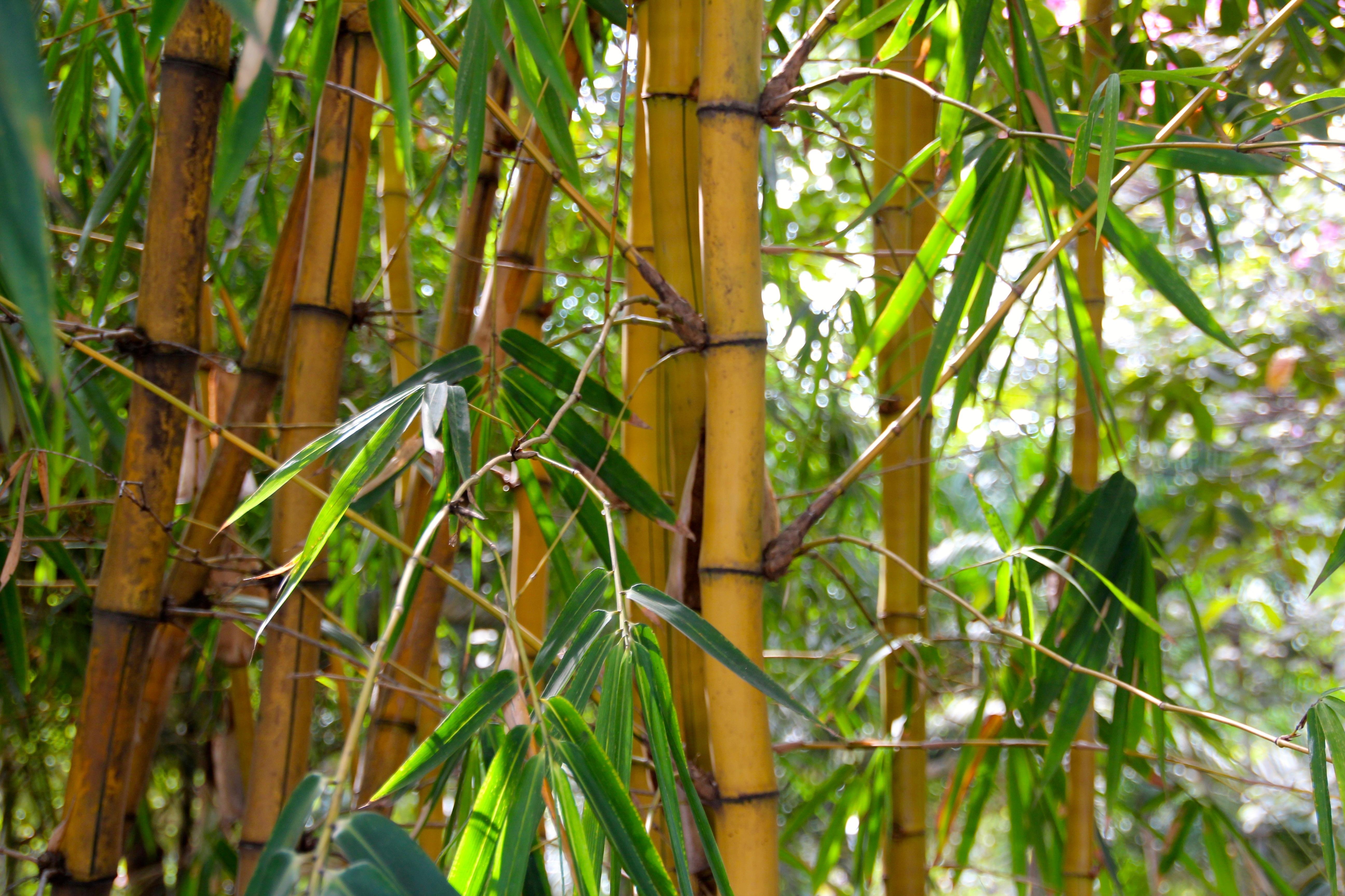 bamboo botany