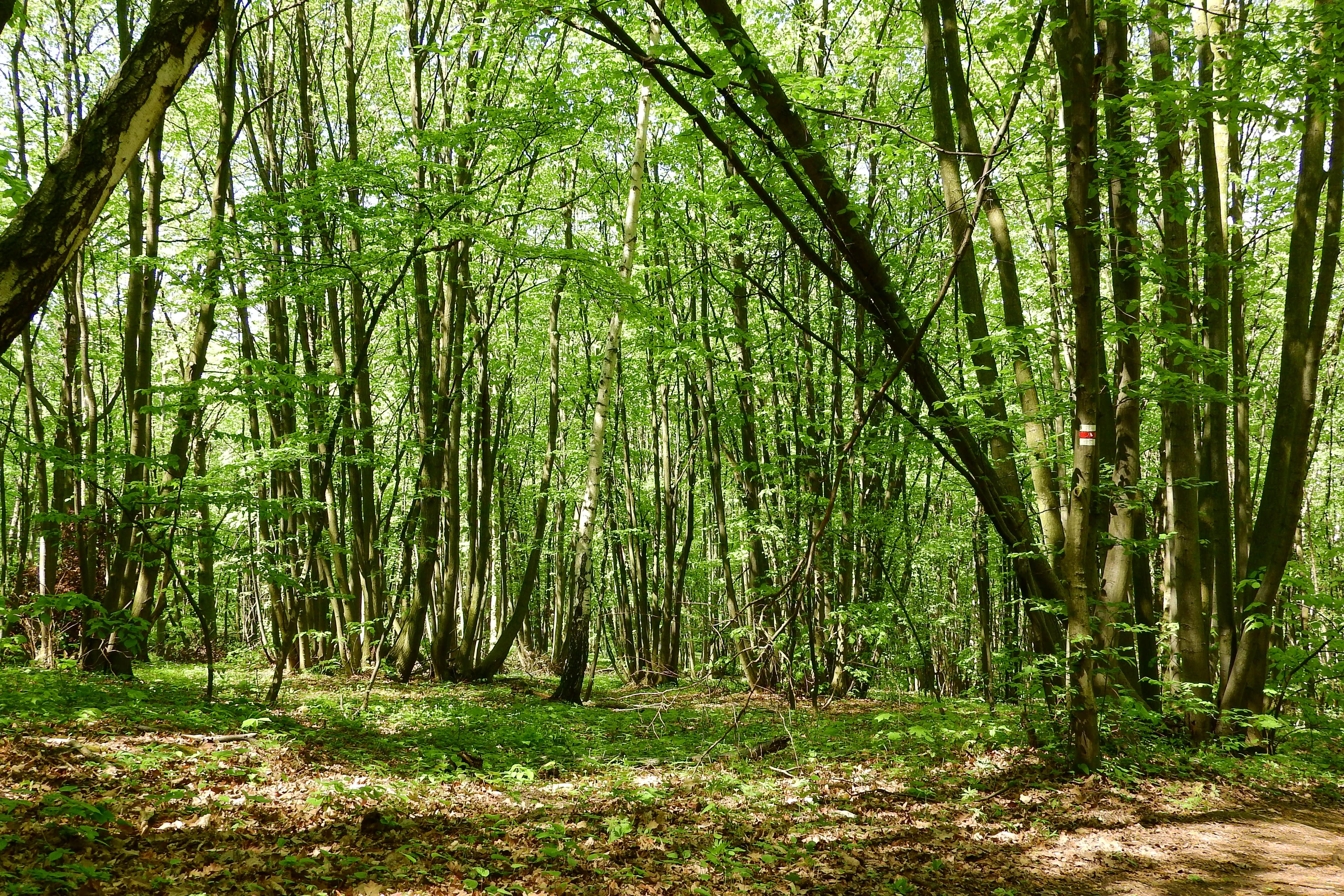 Très Images Gratuites : arbre, herbe, tronc, jungle, végétation, forêt  ZA77