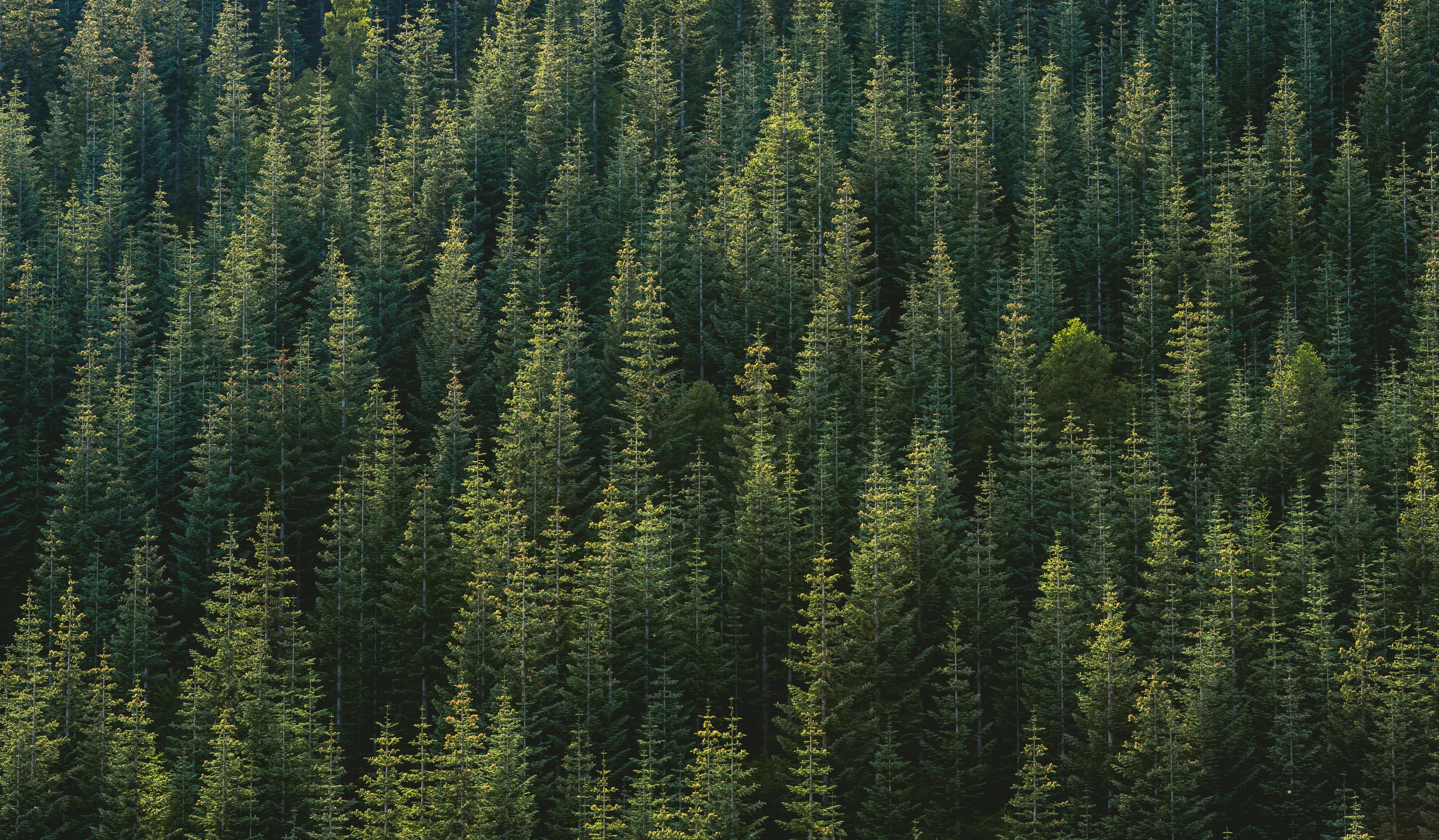 Free Images : wilderness, wood, sunlight, leaf, green, fir ...