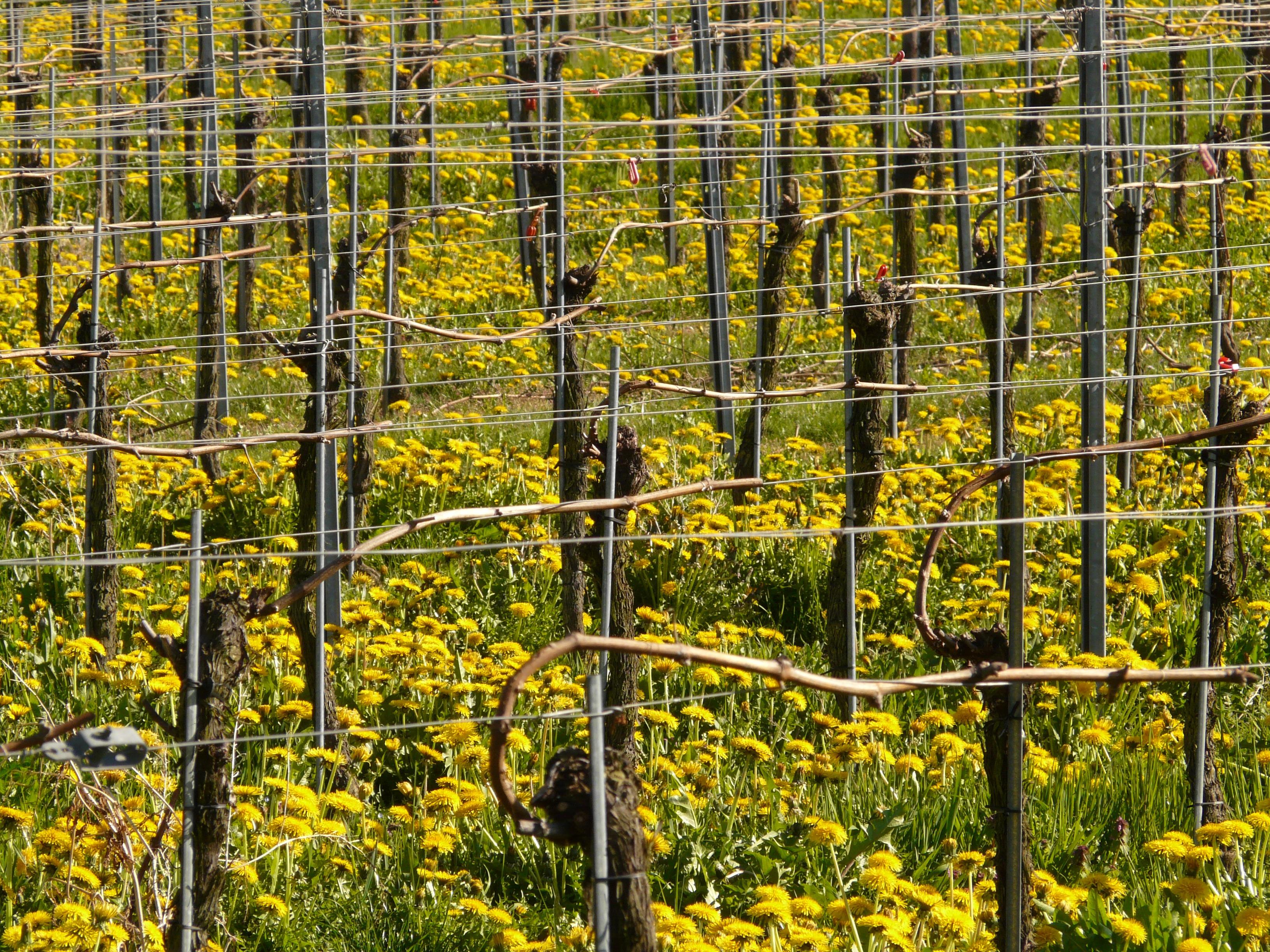 Images Gratuites : arbre, forêt, Montagne, poster, vigne, vignoble ...