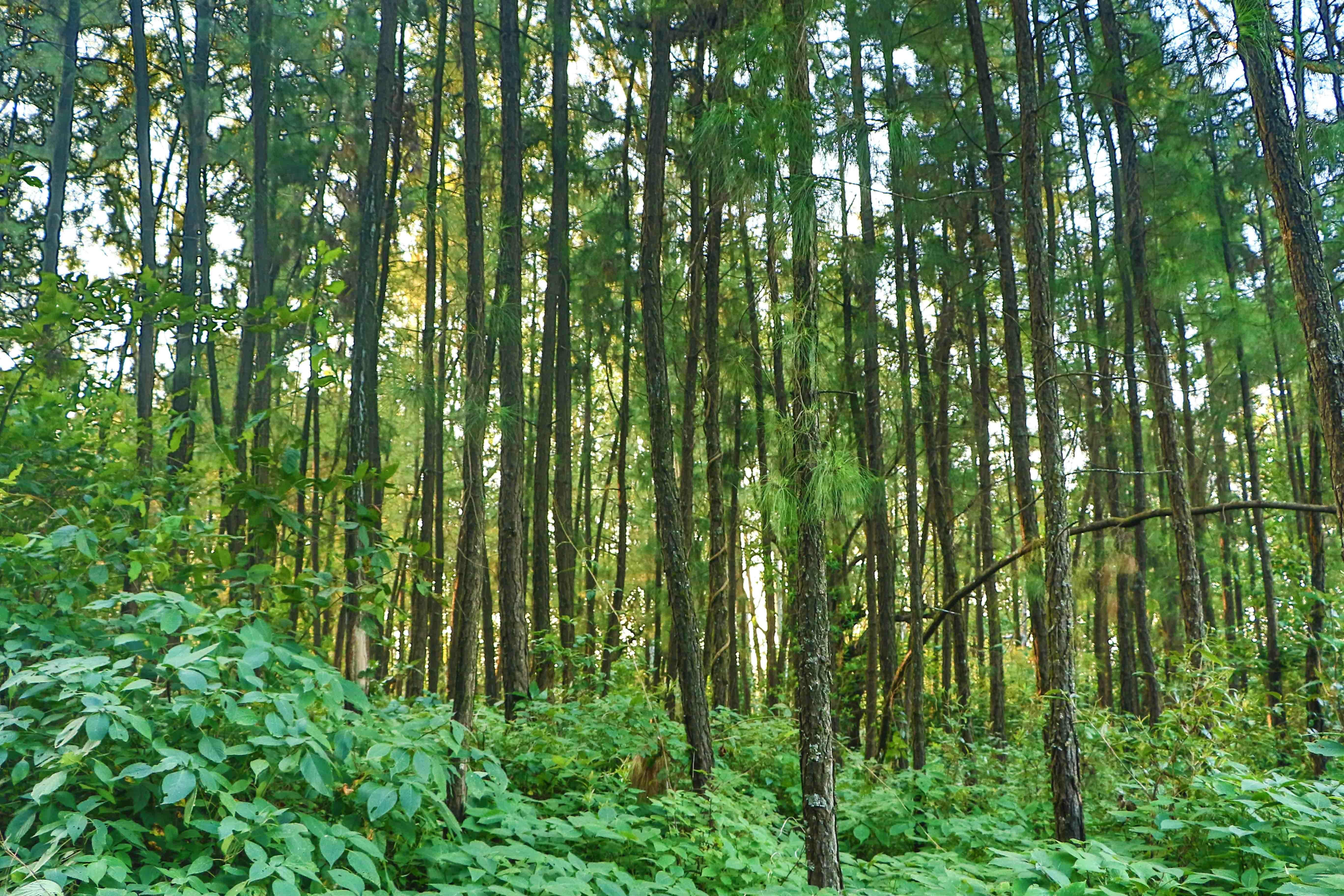 images gratuites arbre plante pic a v g tation for t tropicale feuilles caduques. Black Bedroom Furniture Sets. Home Design Ideas