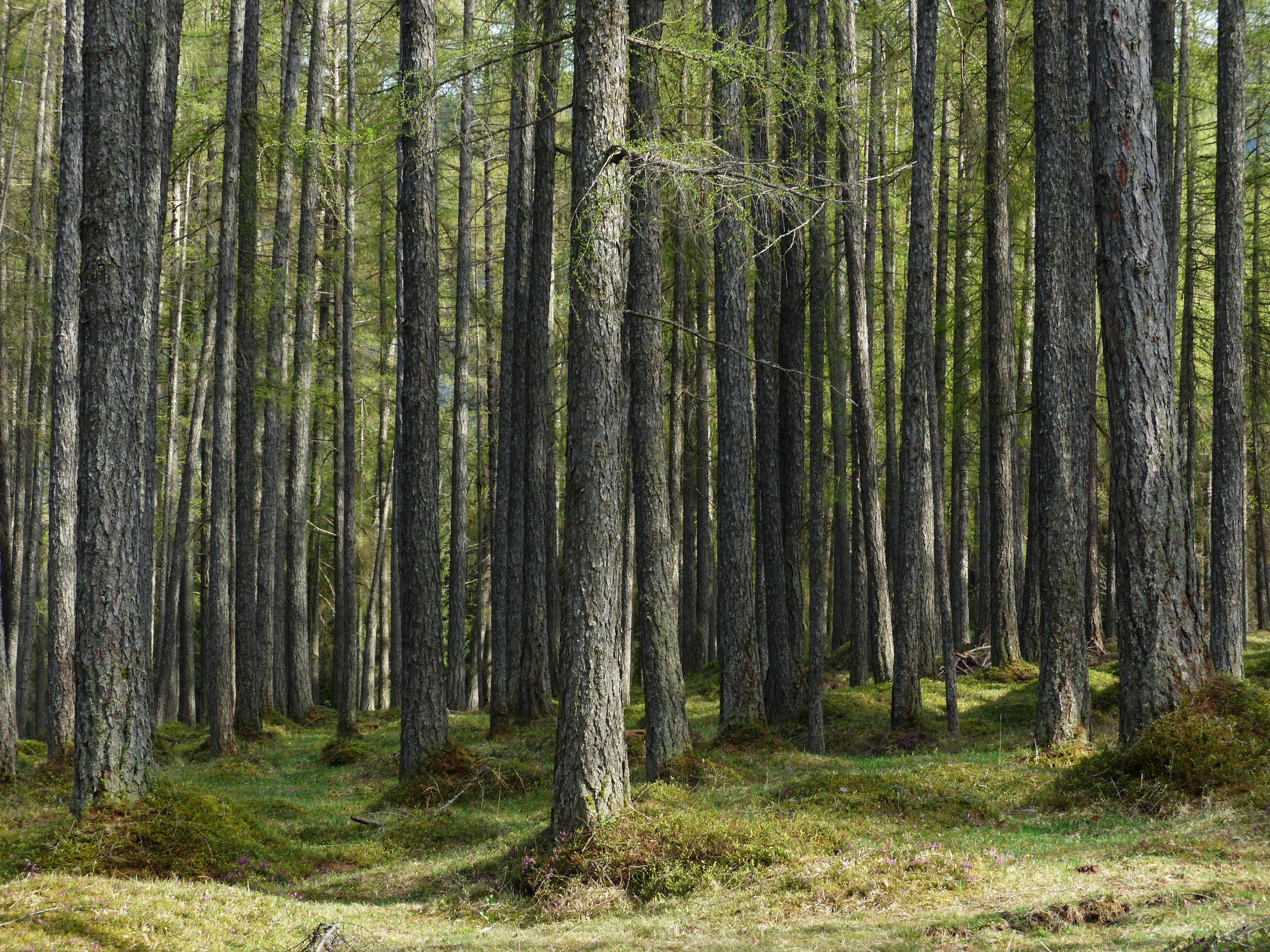 фото лиственничный лес сибирские детисыновья