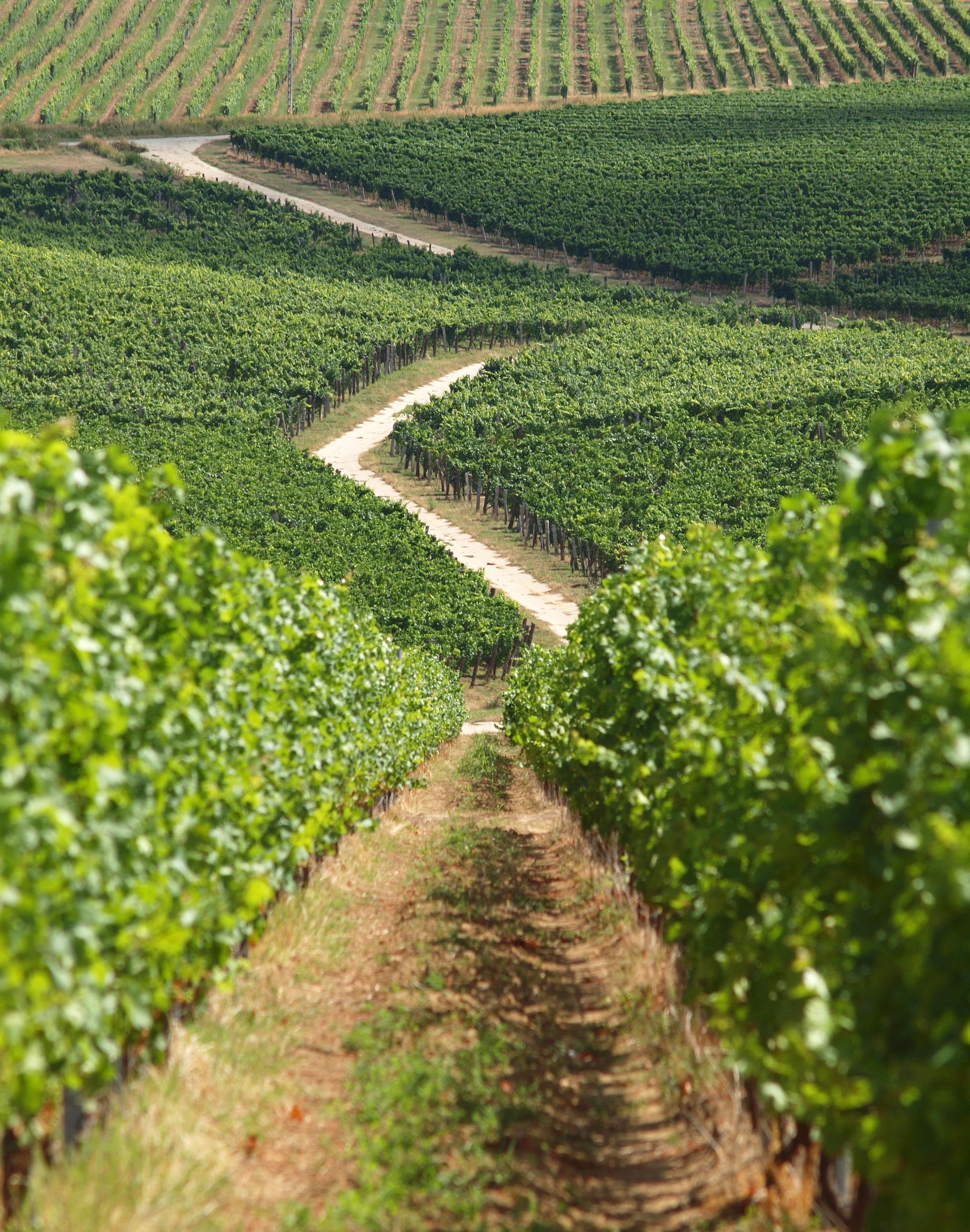 Gambar Pohon Kebun Anggur Bidang Tanah Pertanian Hijau