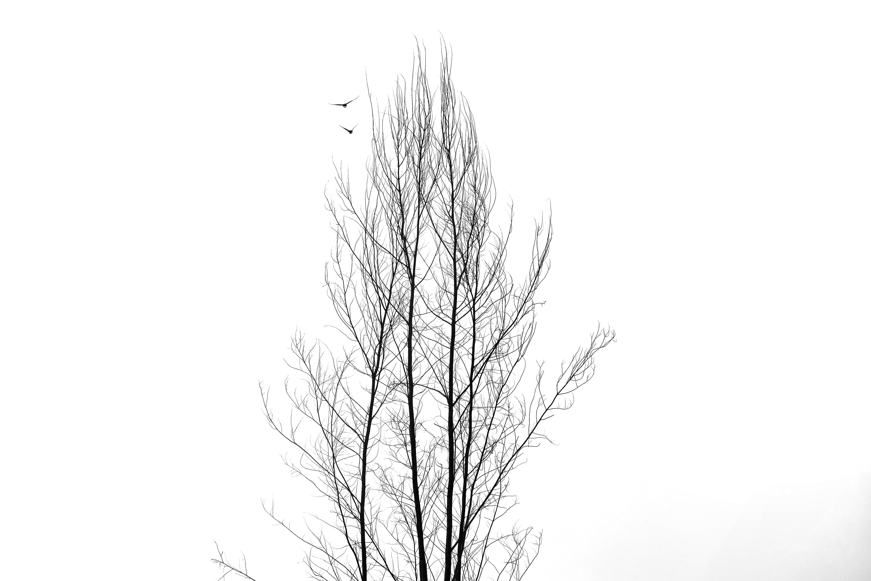 Gambar : pohon, cabang, hitam dan putih, menanam, garis